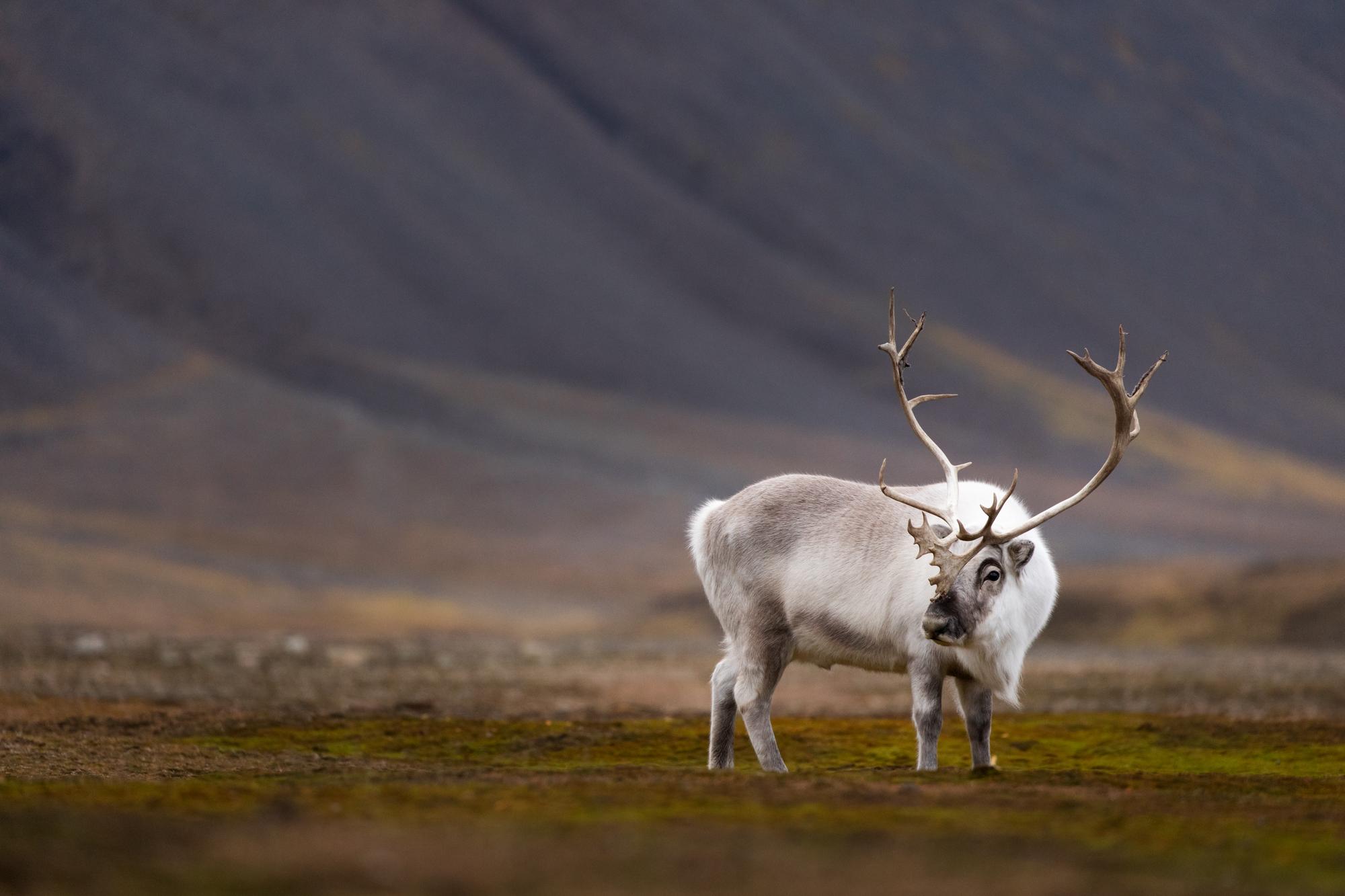 Svalbard reindeer guardian...