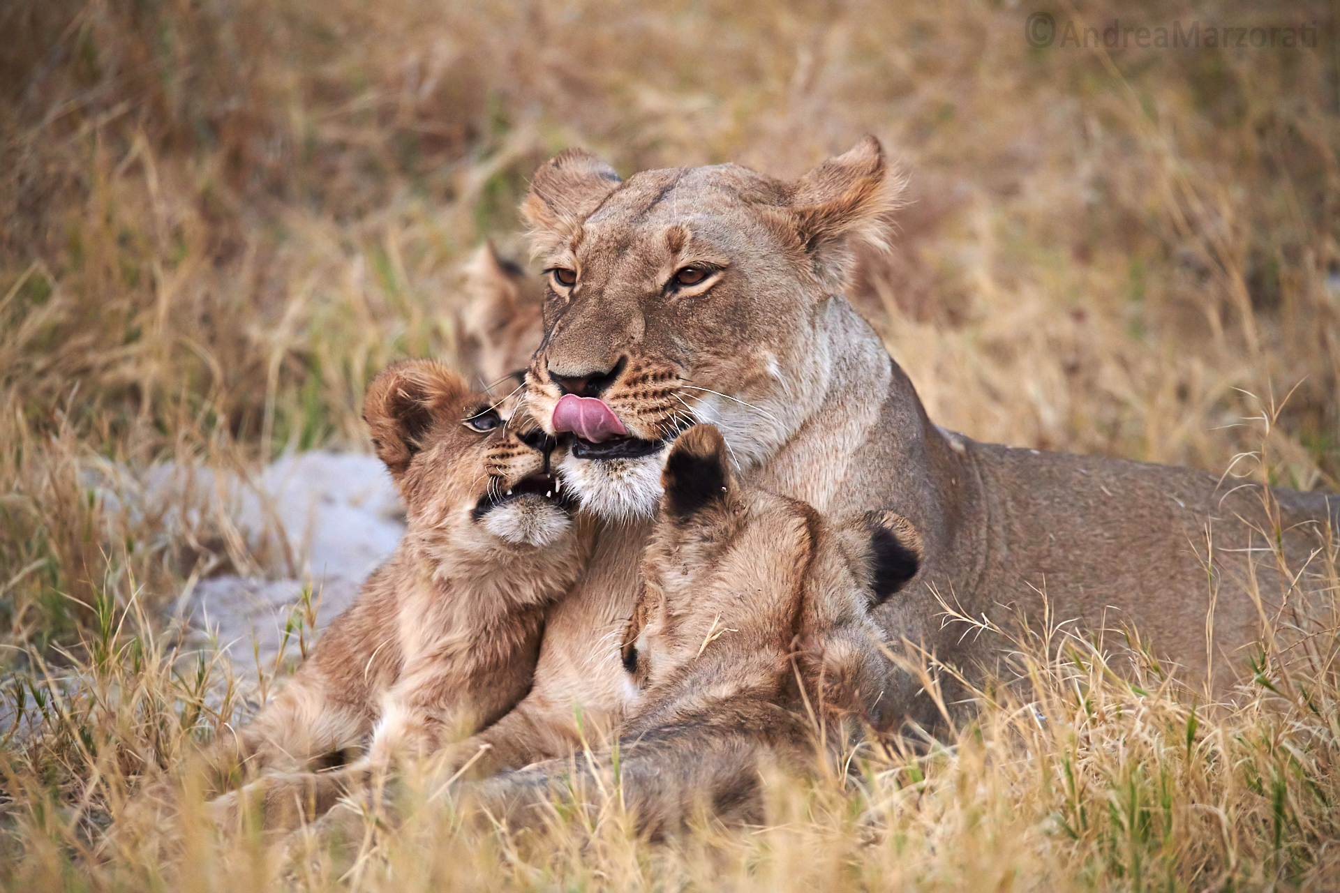 Lioness and Puppies...