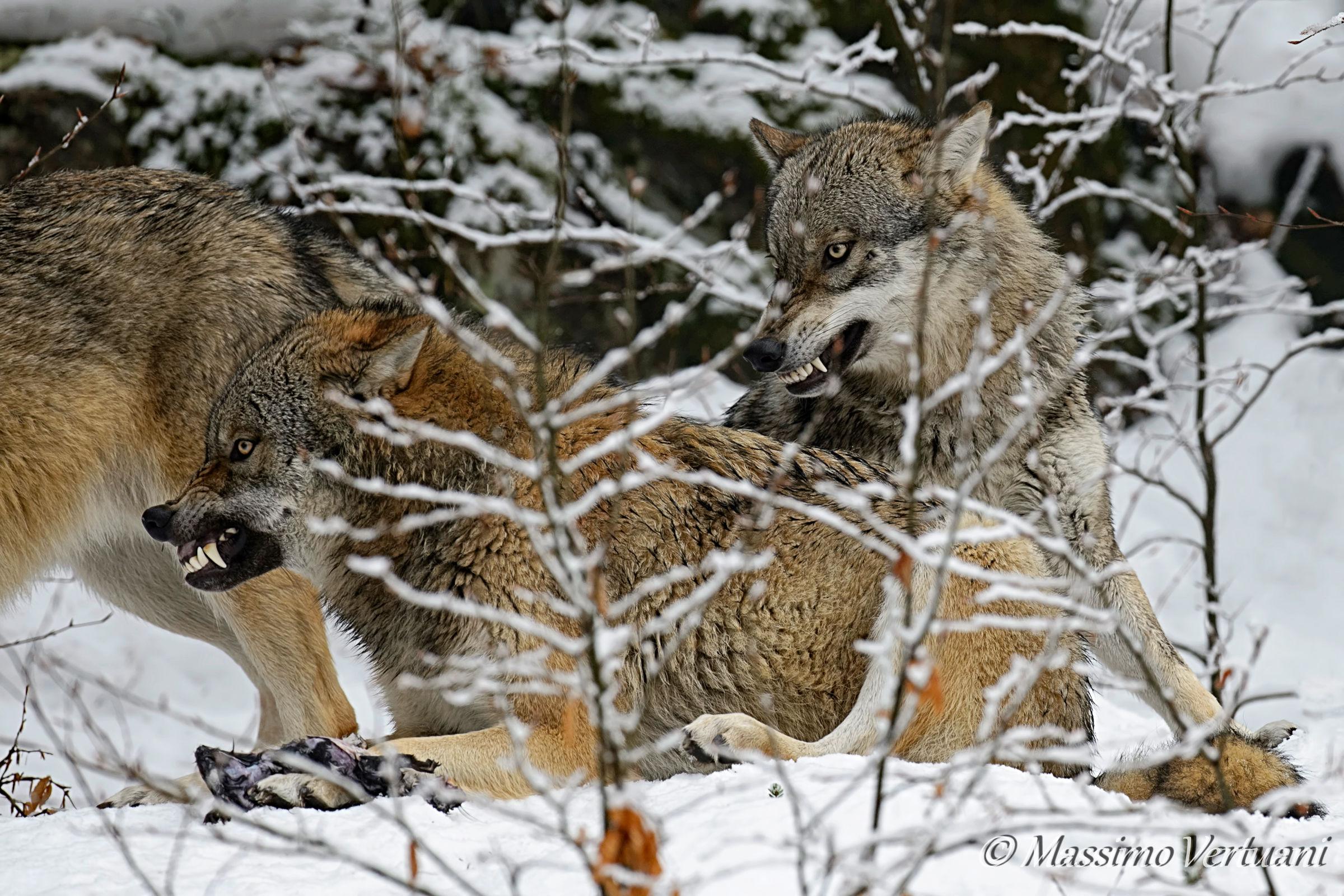 """Beware of wolves... """"Bayerischer Wald Nationalpark""""..."""