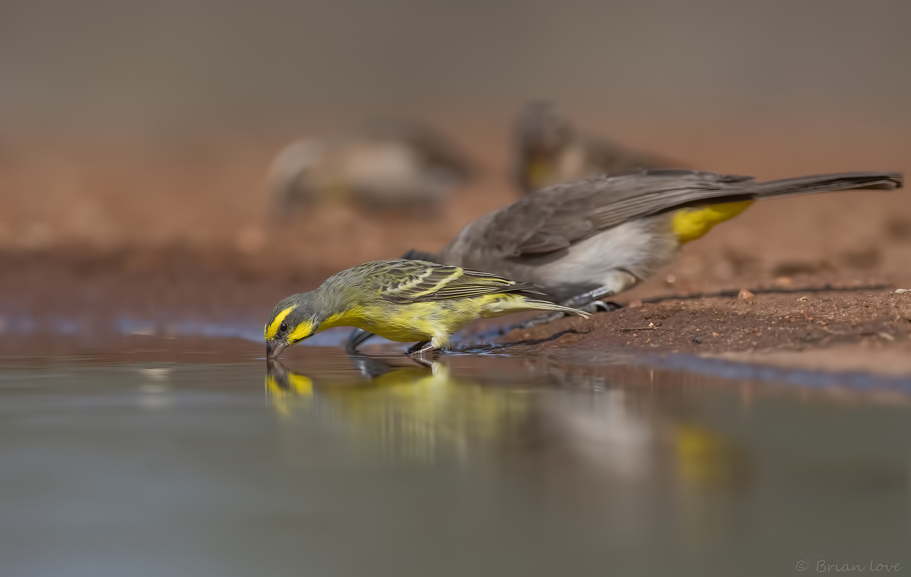 Yellow-fronted Canary (Crithagra mozambica)...