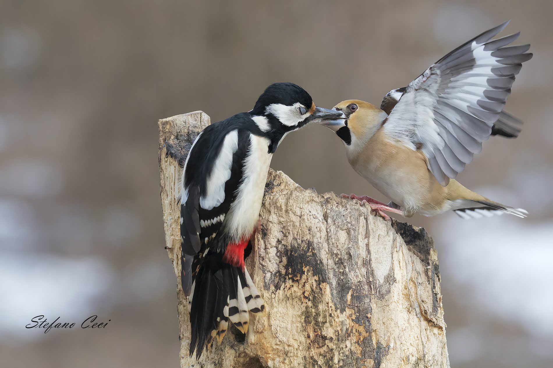 To you... meeting between the woodpeckers and the Hawfinch...