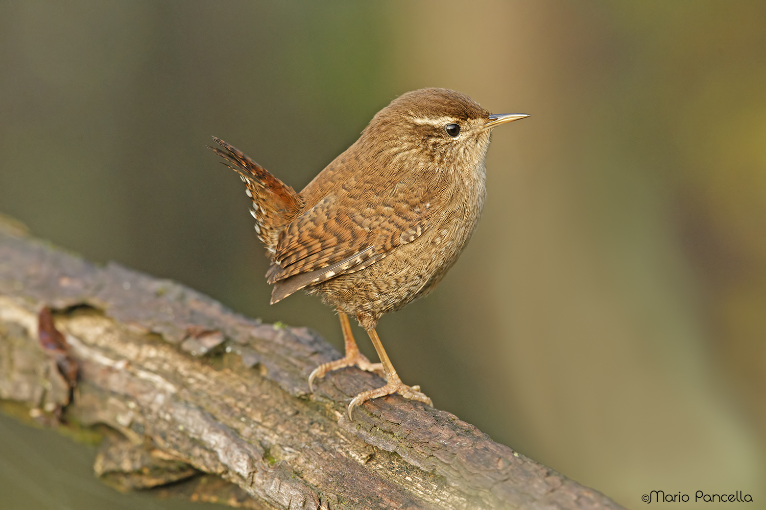 10 cm of Beauty Wren...
