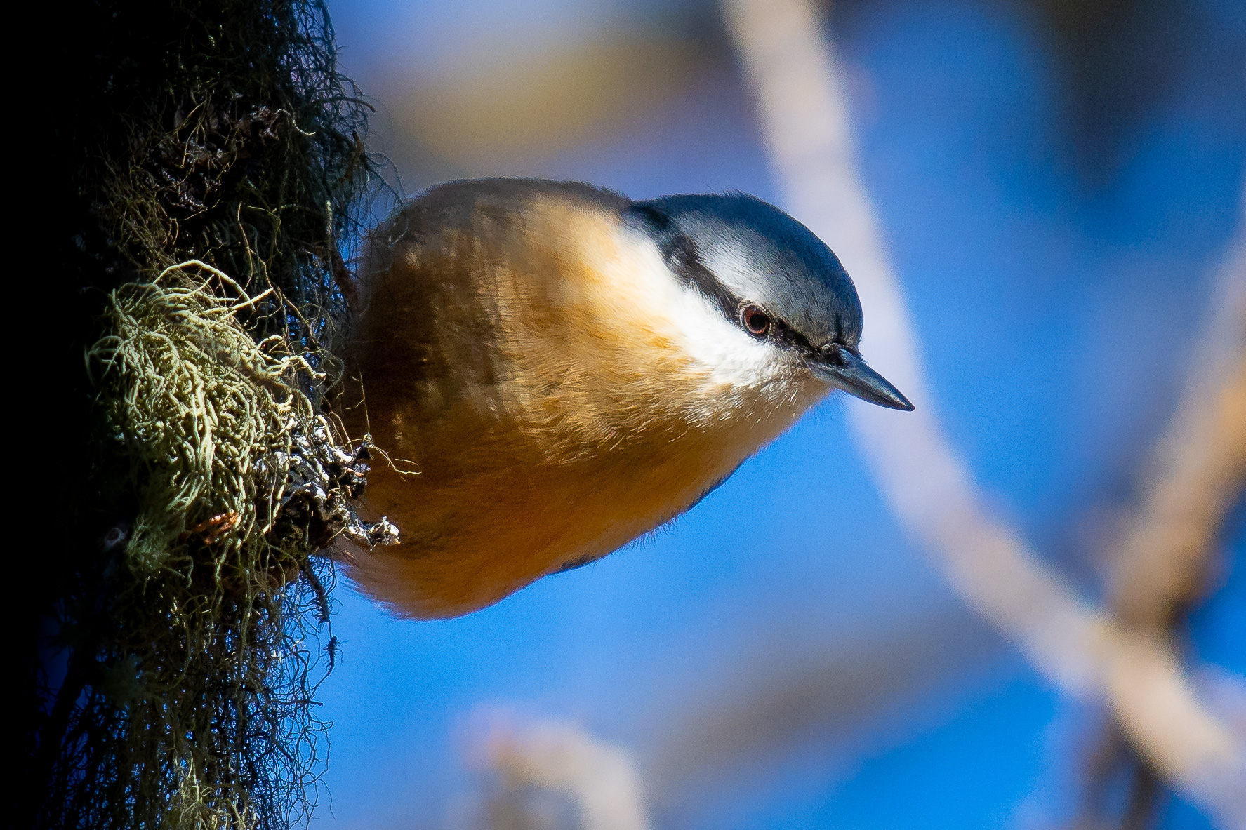 Nuthatch in his environment...