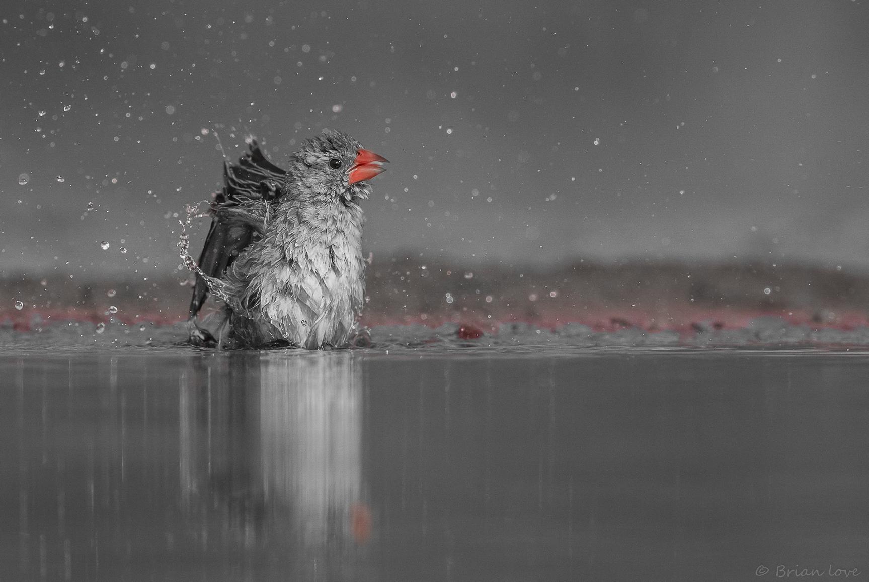Red-billed Quelea (Quelea quelea)...