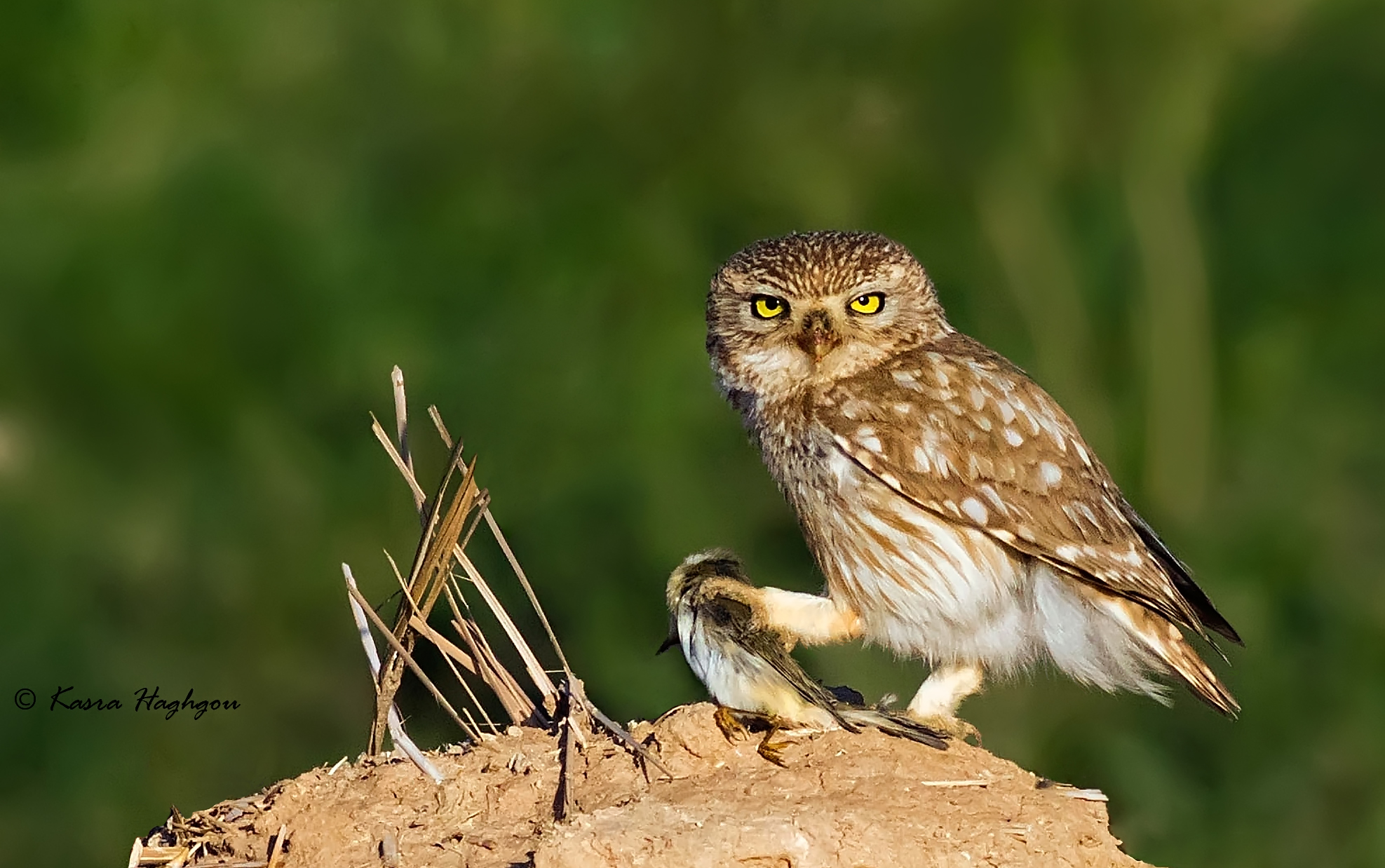 little owl with prey...