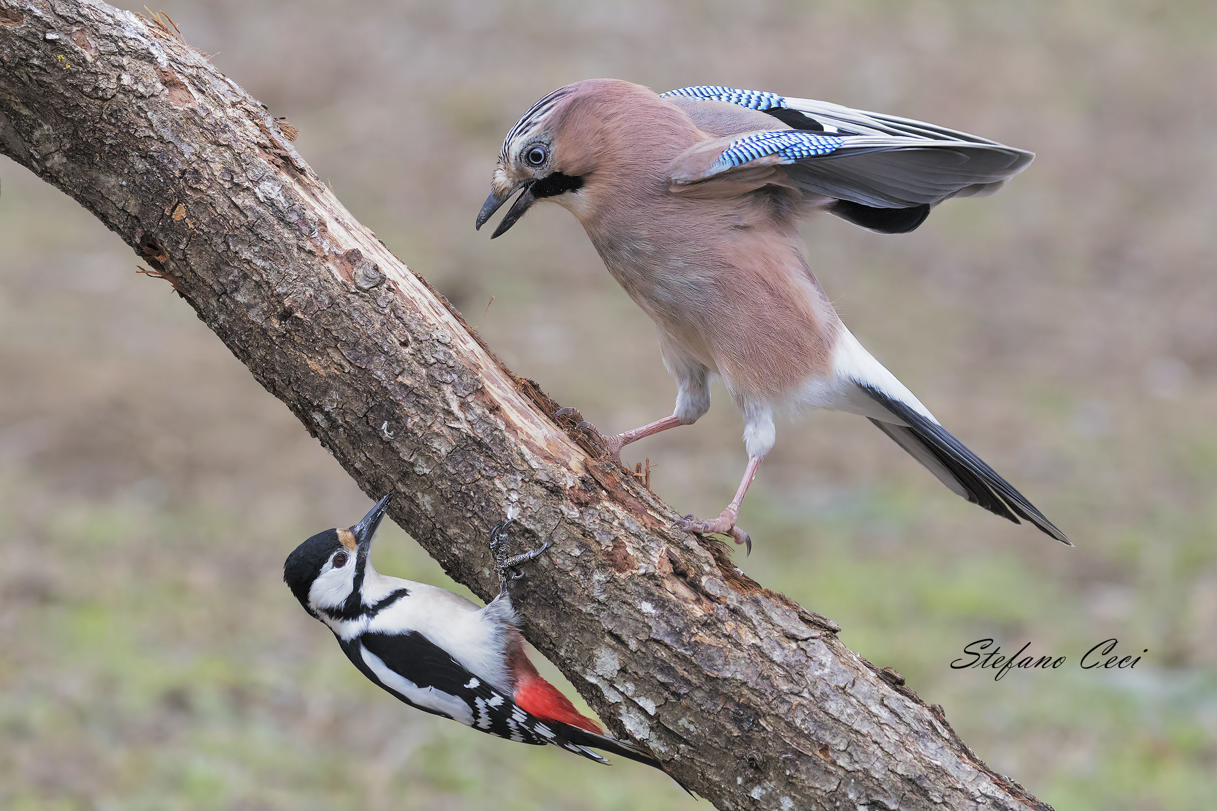 Meeting between the woodpeckers and the Jay...