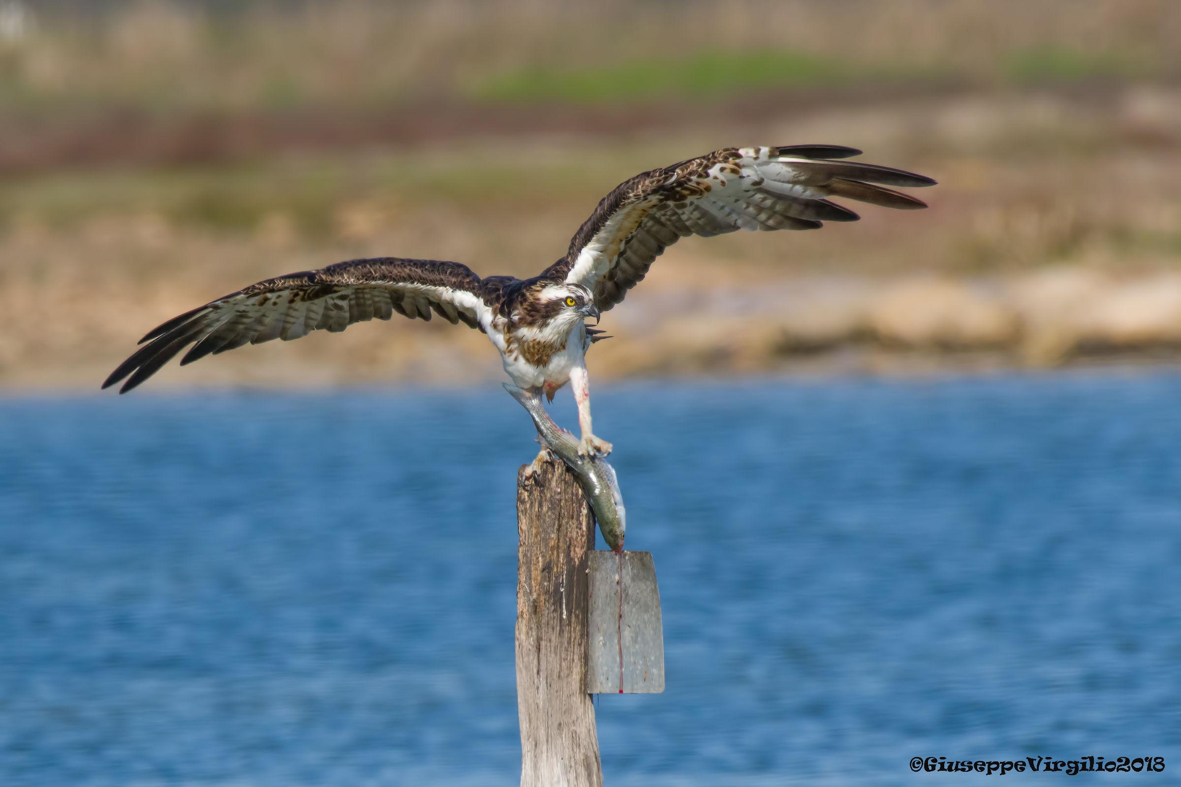 Osprey (Sardinia 2018)...