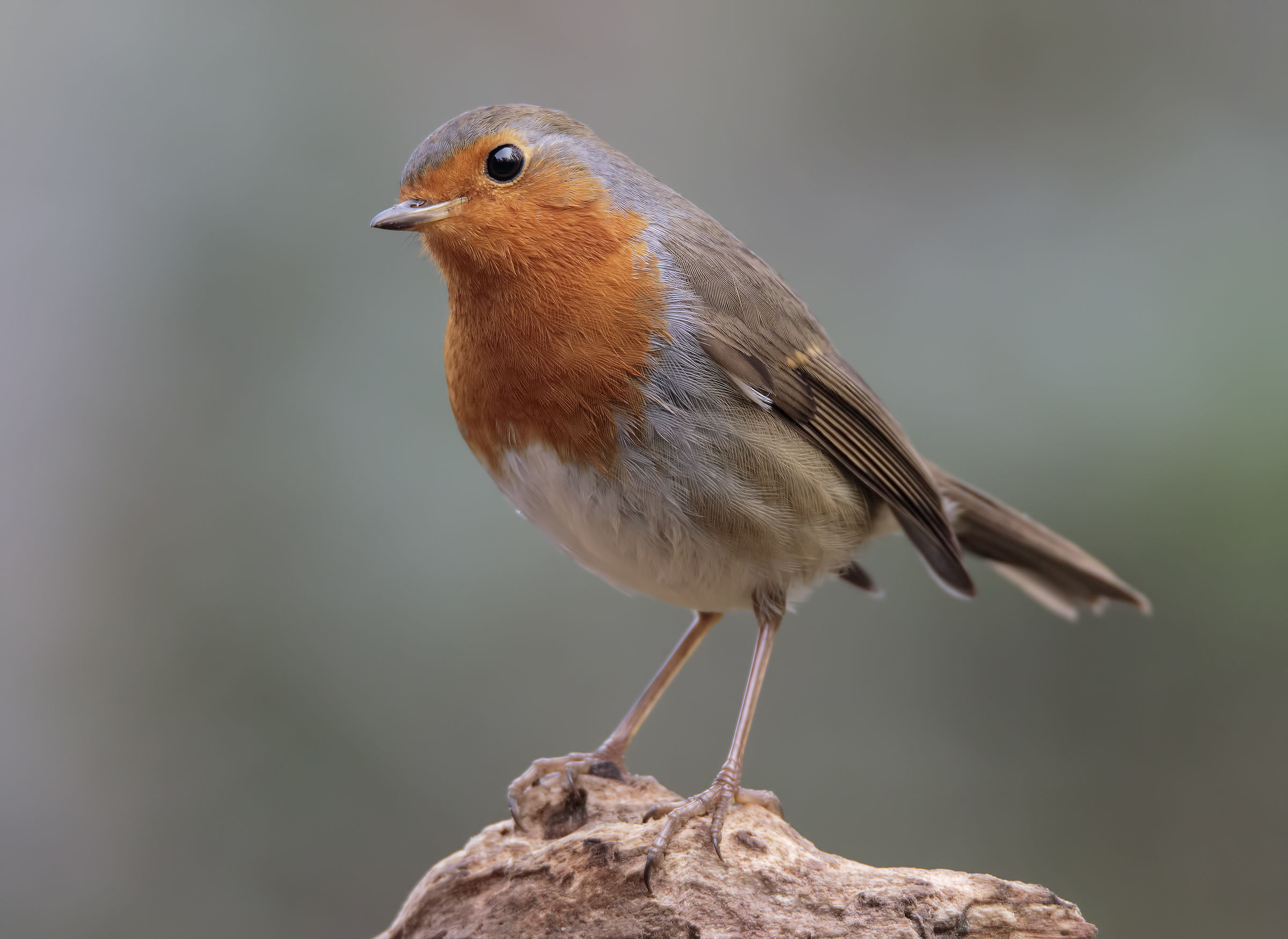 A Robin intrigued...