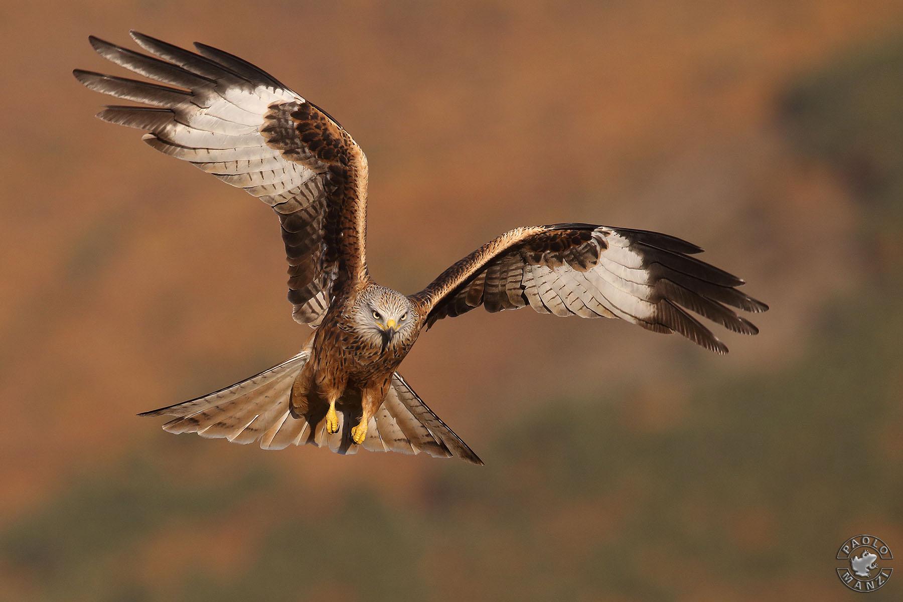 Royal Kite-Milvus Milvus...