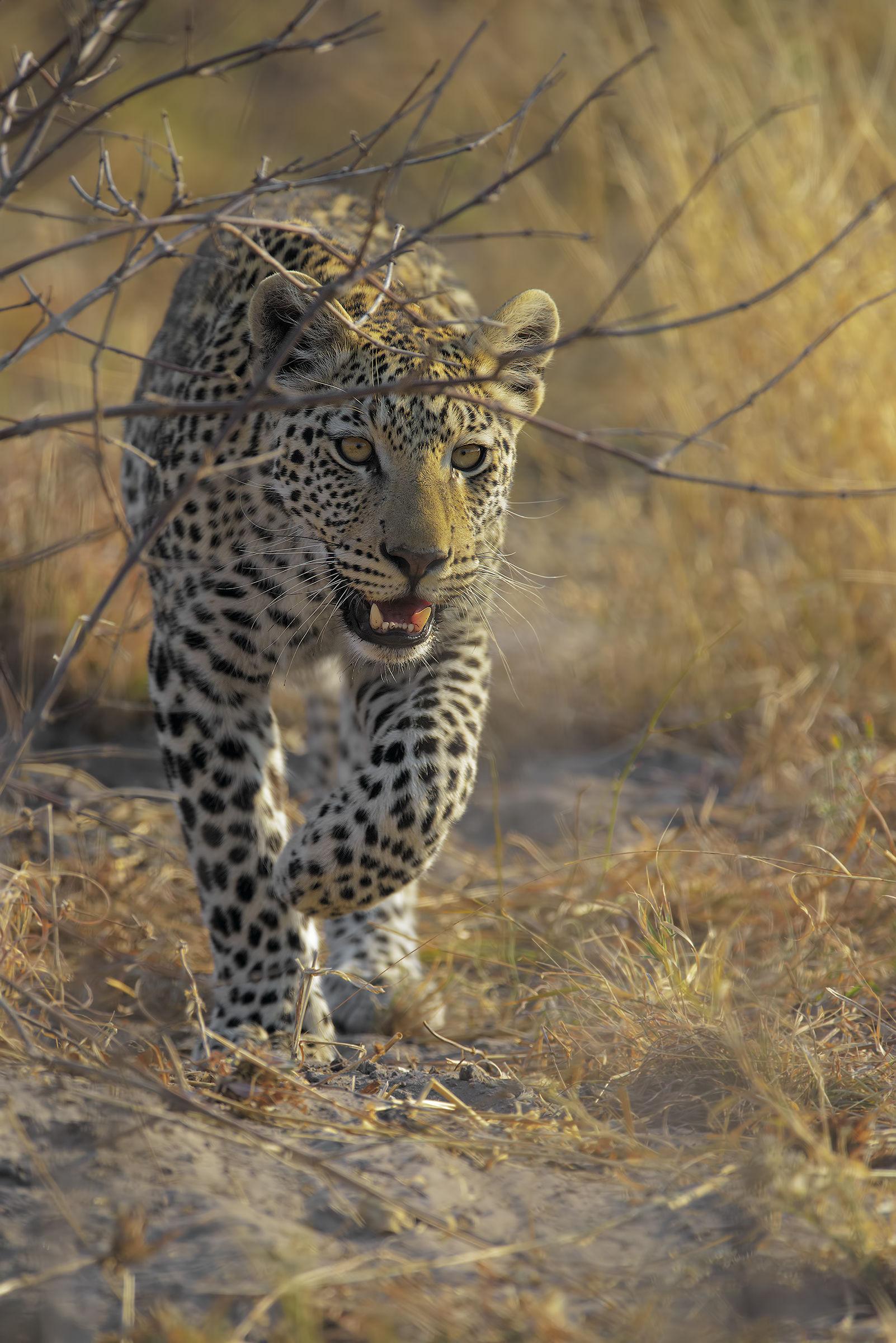 The Leopard Pass...