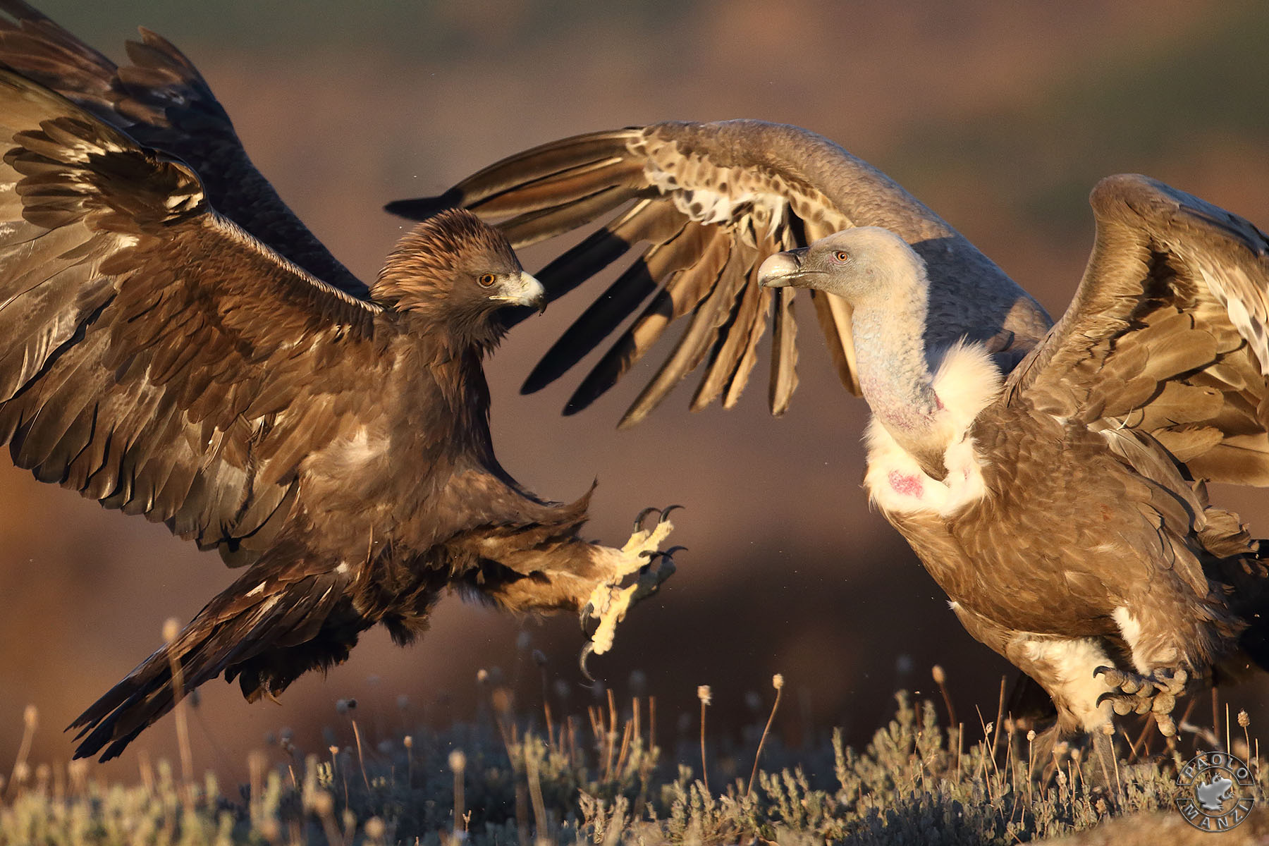 Real Eagle Vs Griffin...