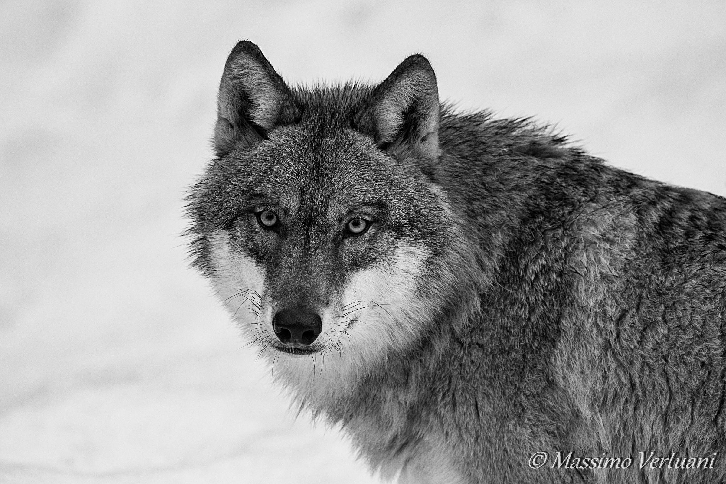 """Wolf """"Bayerischer Wald Nationalpark""""..."""