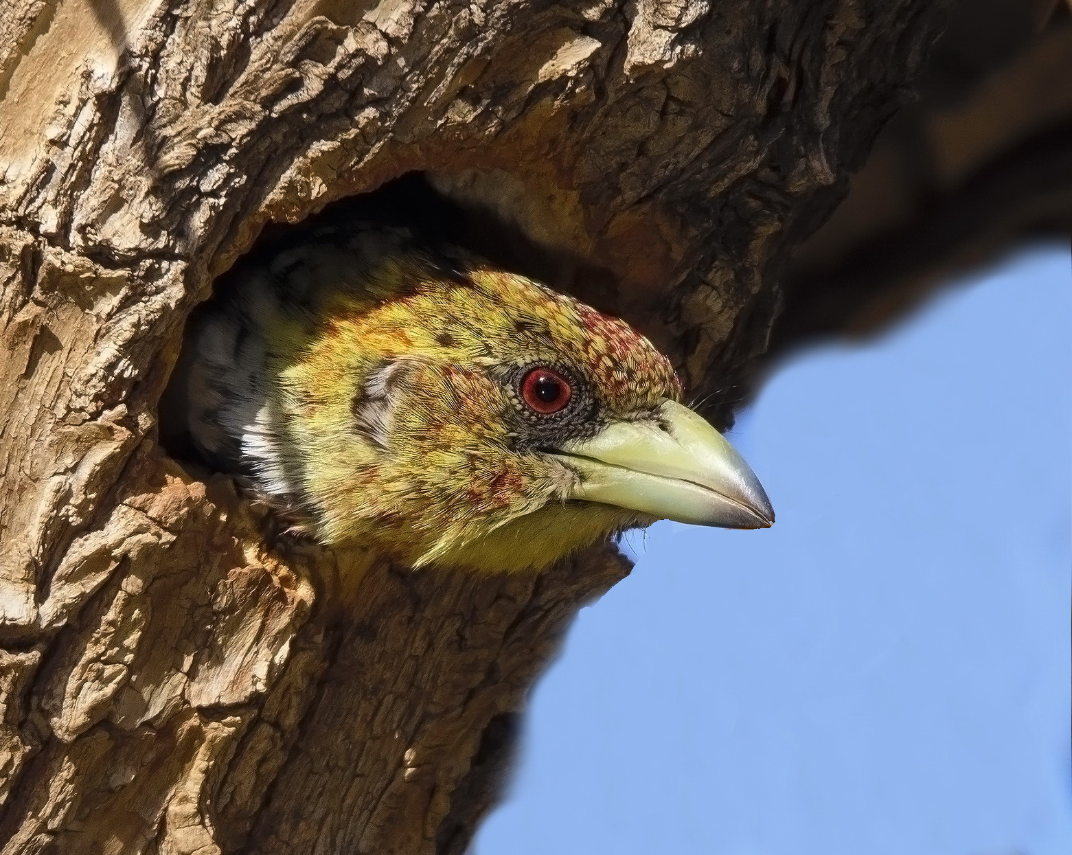 Hi!!! Crested Barbet (Trachyphonus vaillantii)...