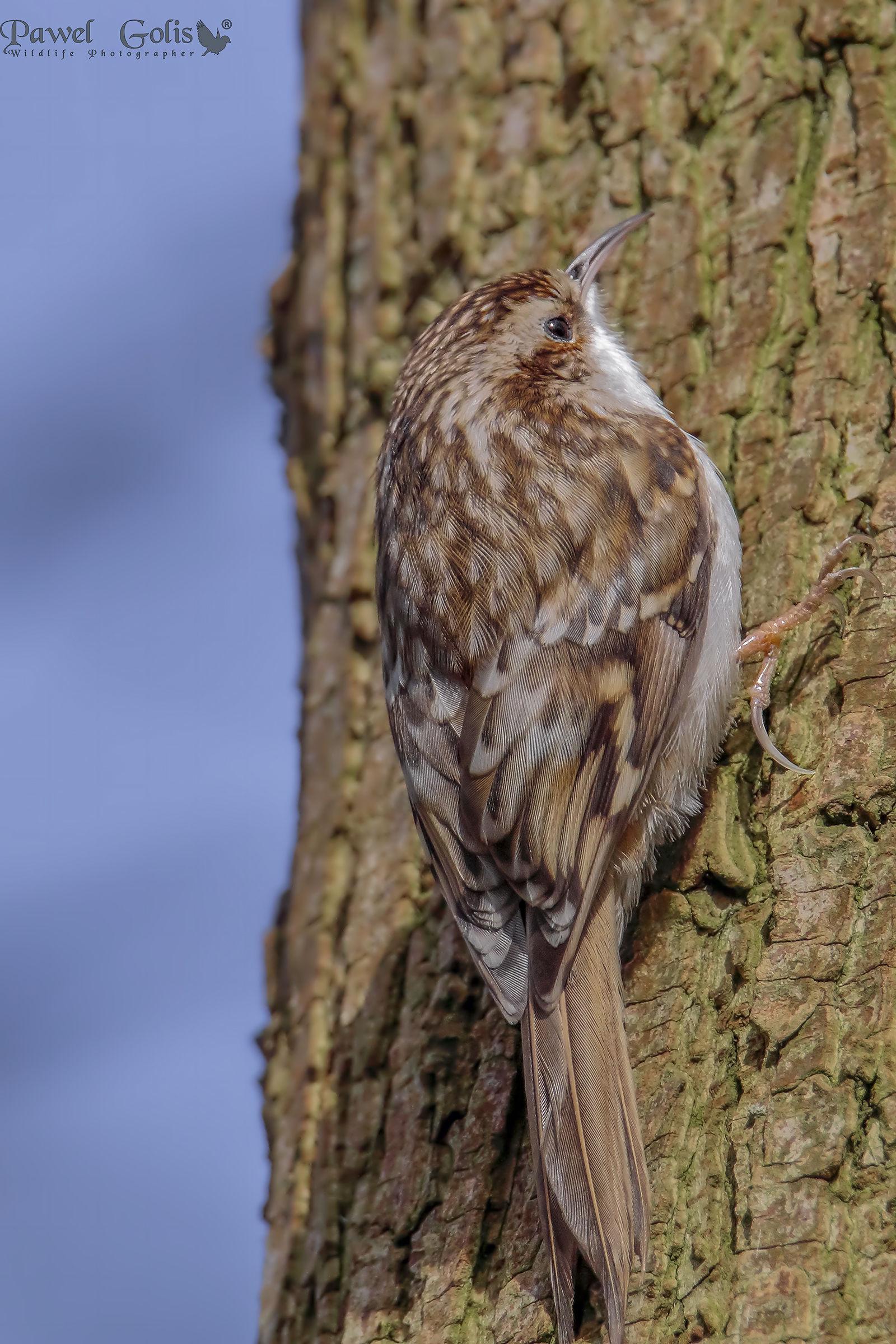 Treecreeper (Certhia familiaris)...
