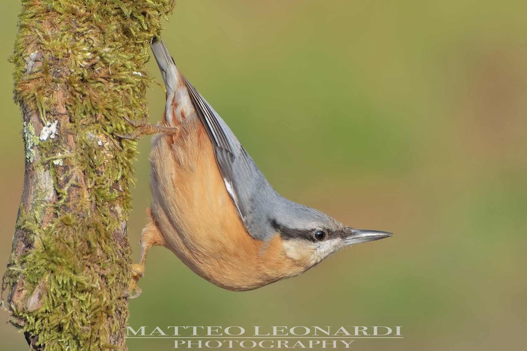 Nuthatch-Apuan Alps...