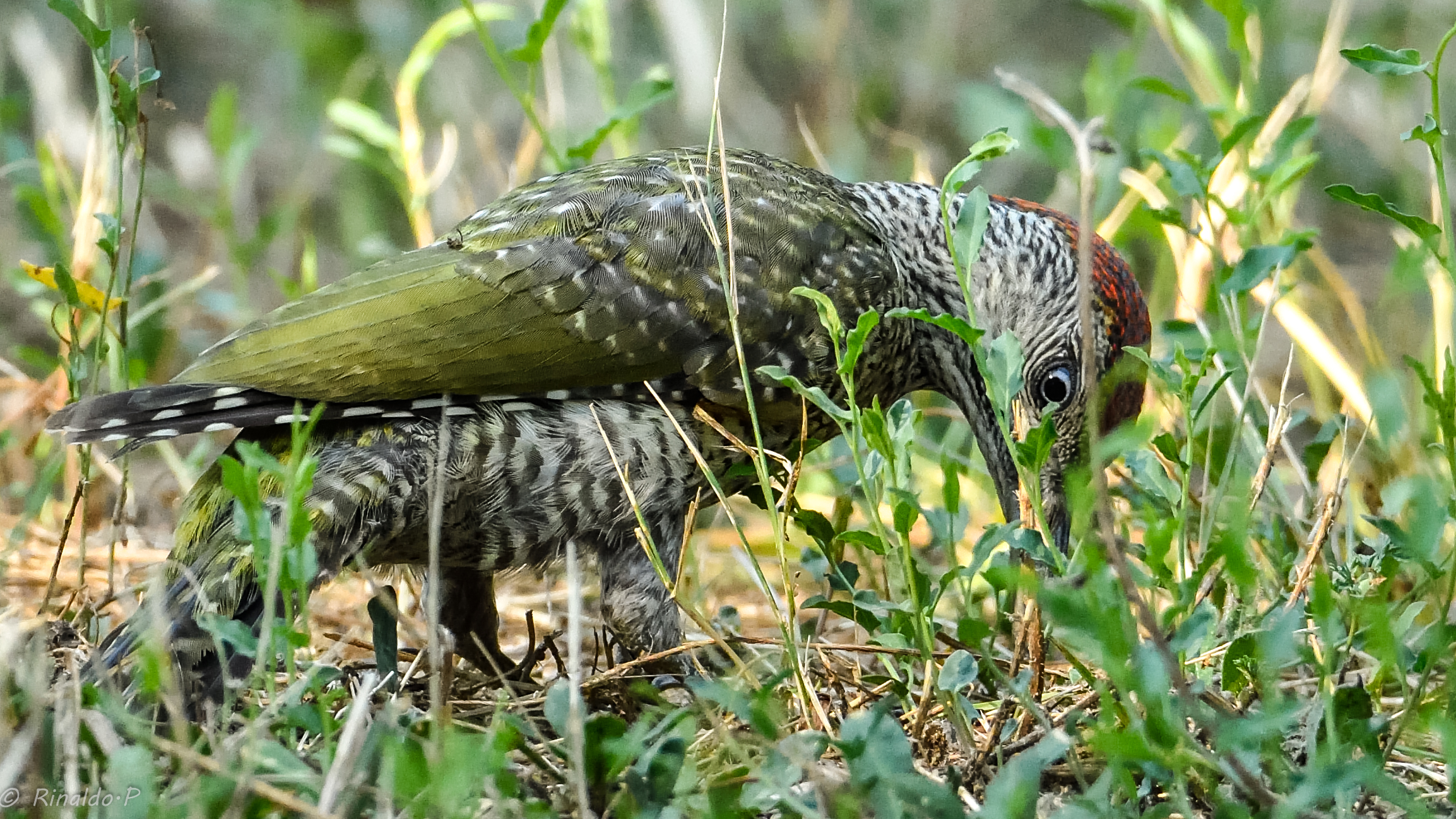Young Green Woodpeckers...