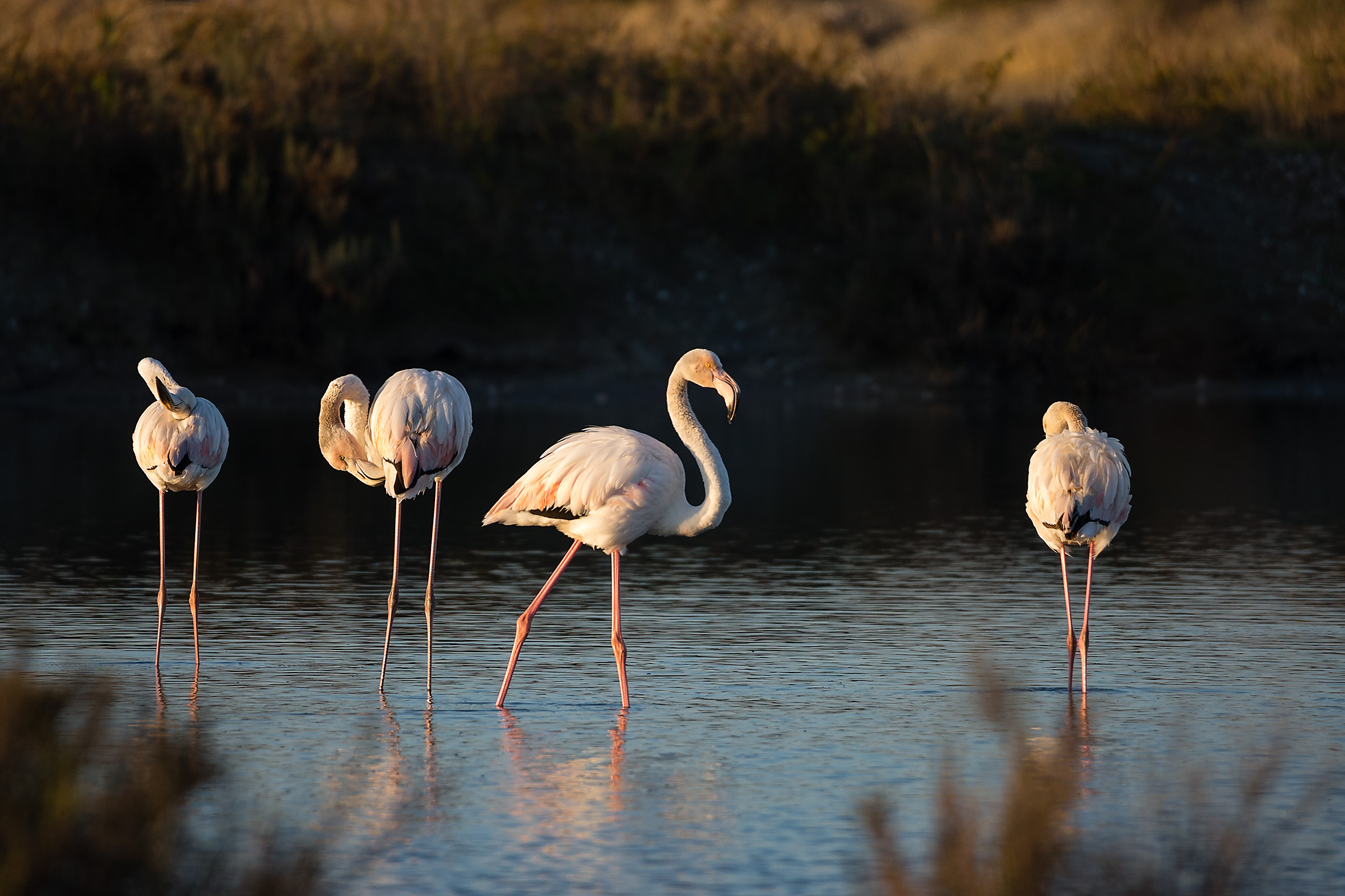 Flamingos in the morning...