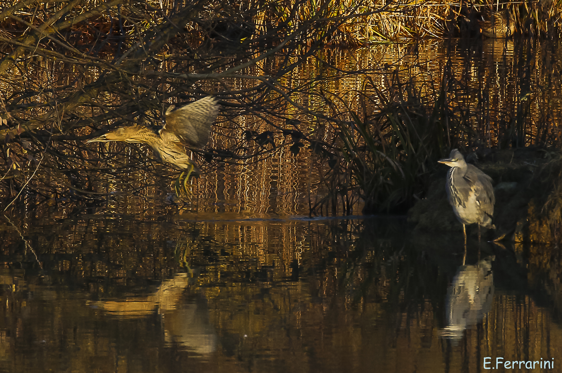 The heron and the Bittern in the light of the sunset...