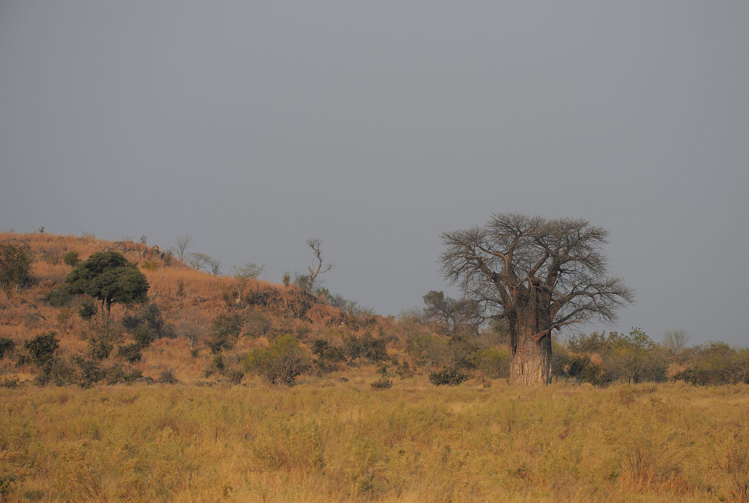 The Millenarian Baobab...
