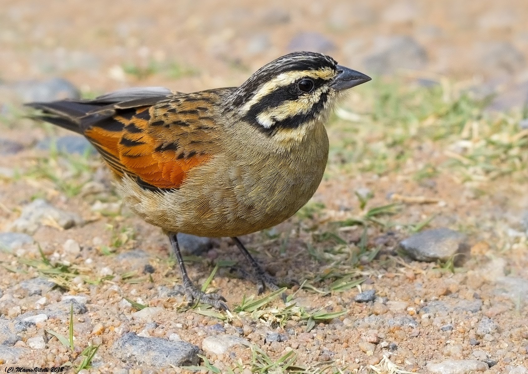 Cape Bunting (Emberiza capensis) South Africa 2000m...