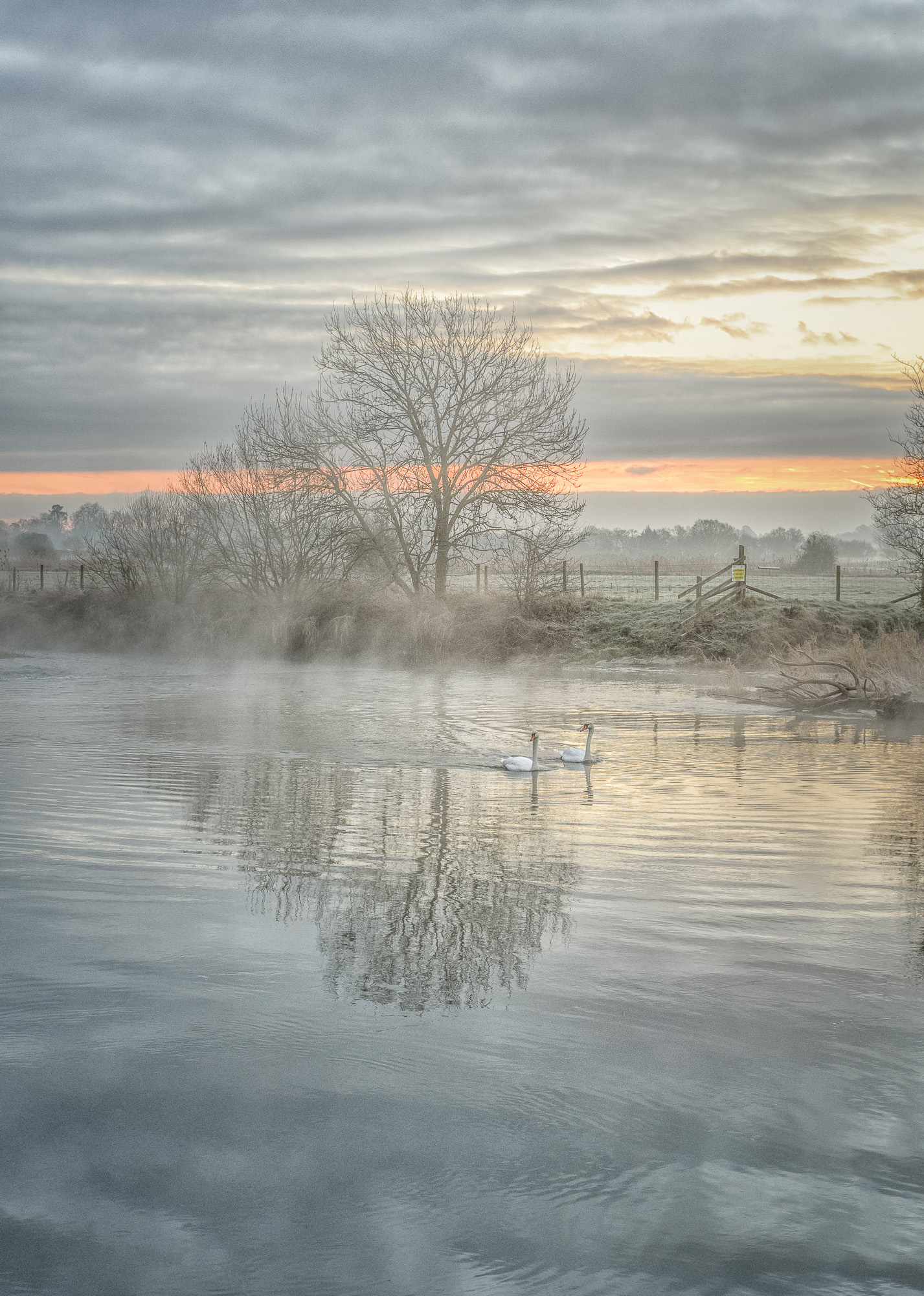 Swans At Daybreak...