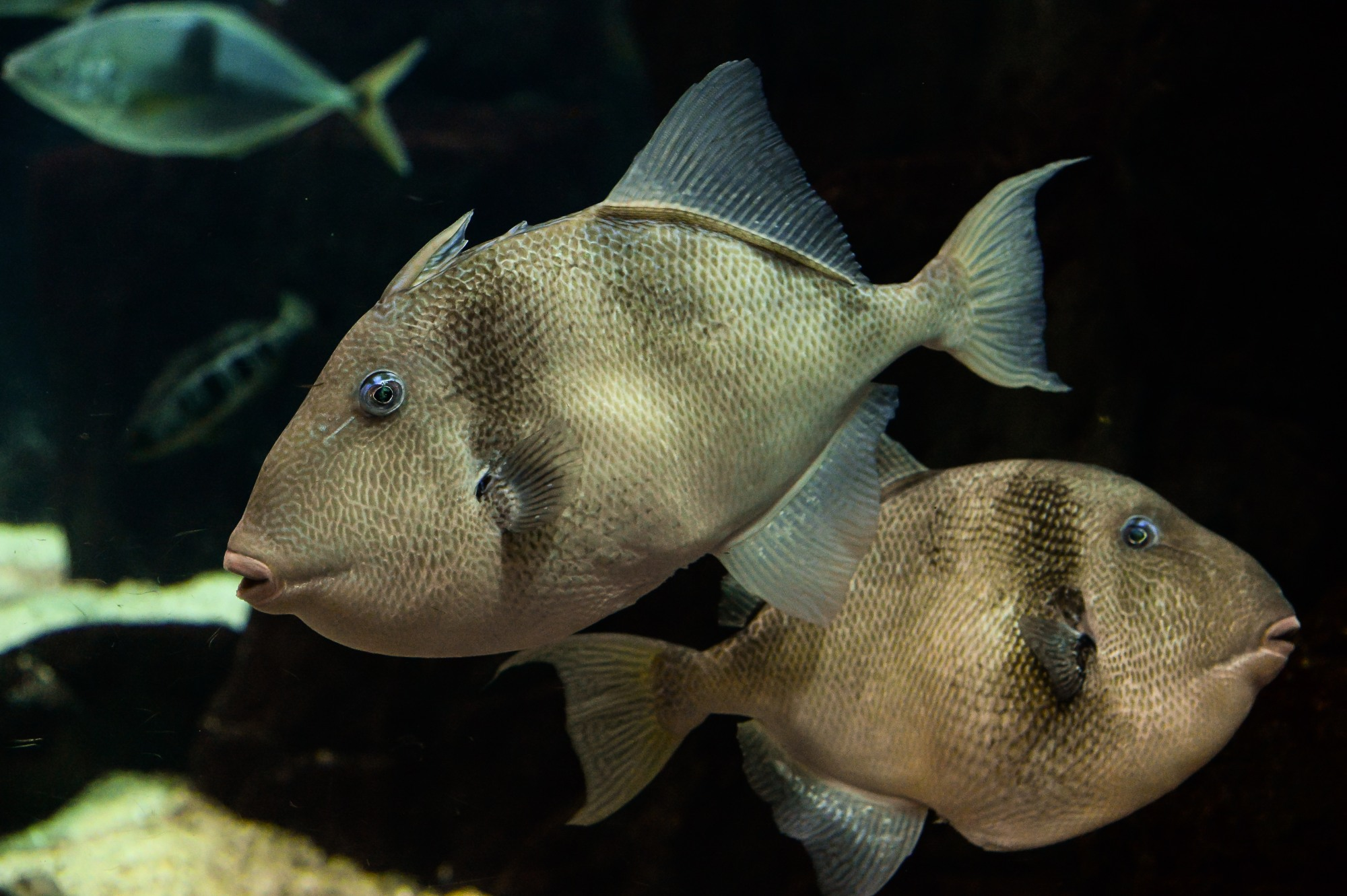 Grey Triggerfish (Balistes Capriscus)...