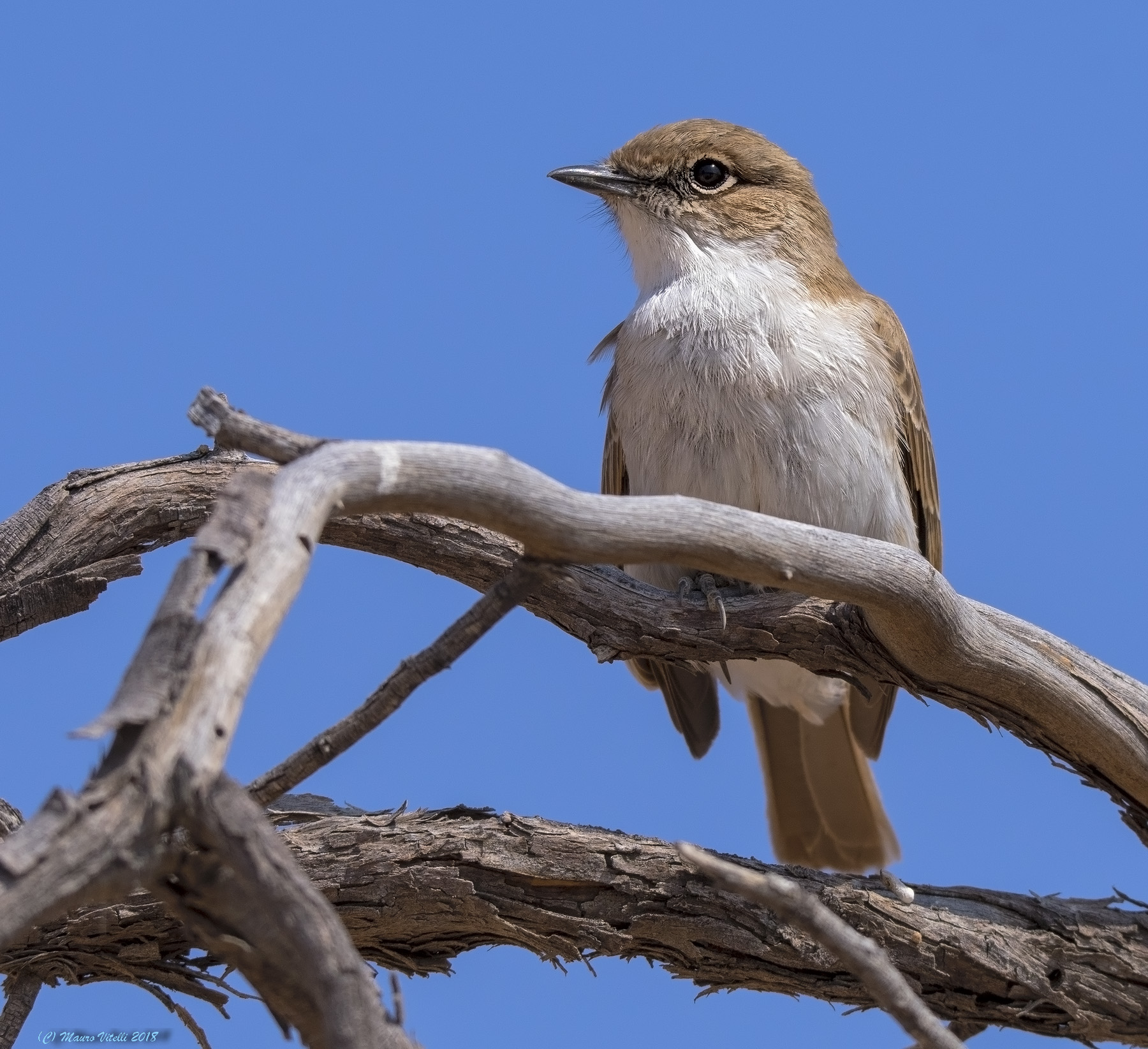 Marico Flycatcher (Bradornis mariquensis) Kalahari...
