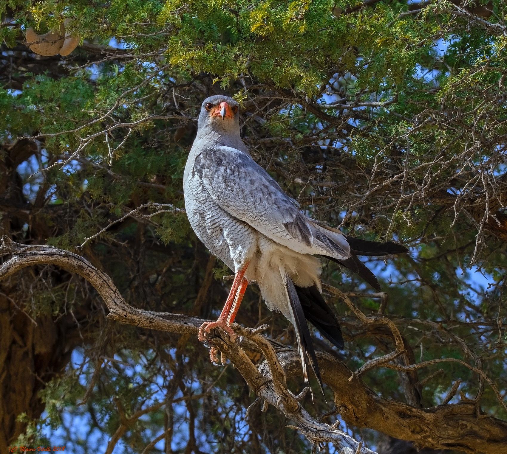 Pale Chanting Goshawk (Melierax Canorus) Kalahari...