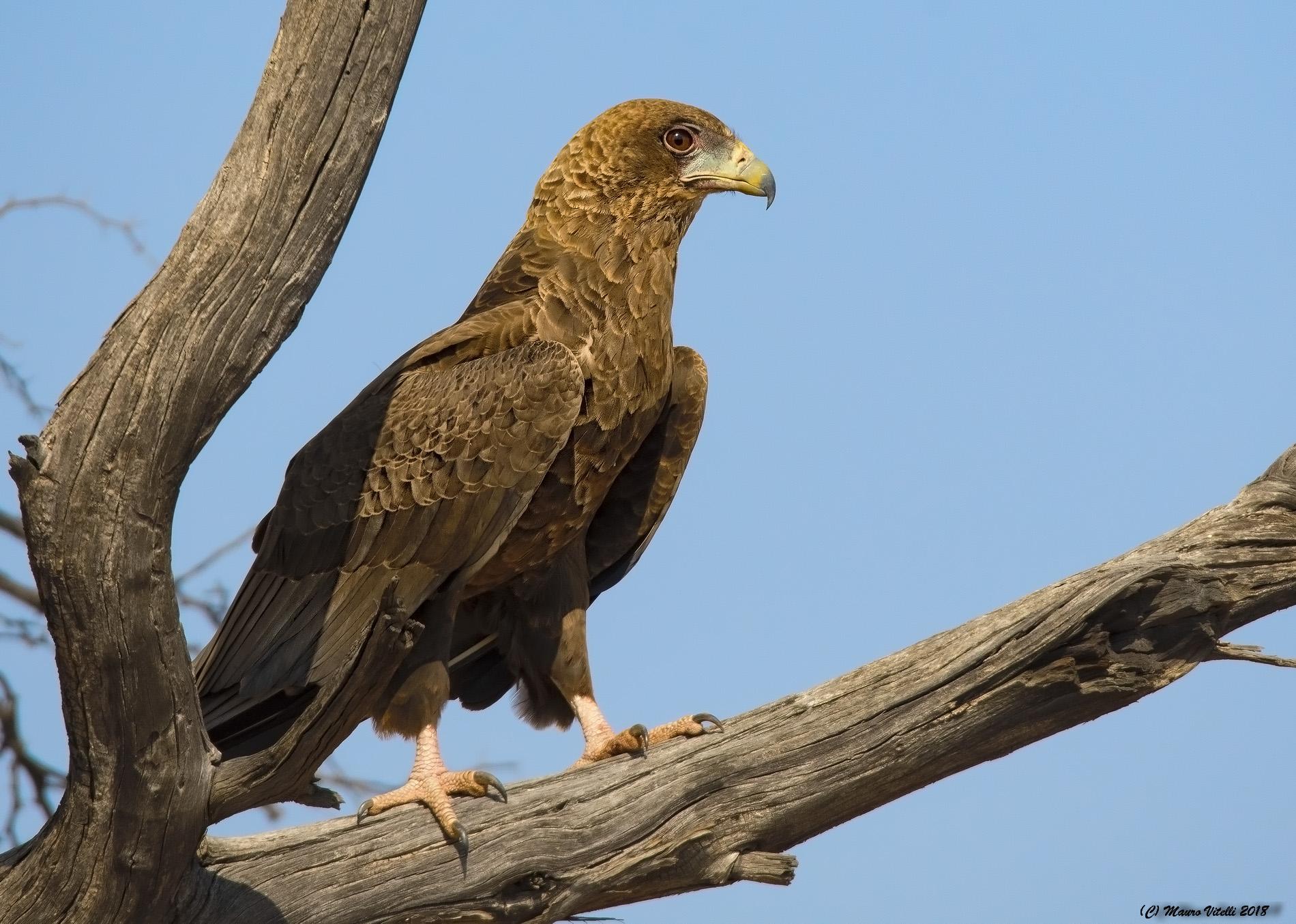 Young Juggler Hawk (Kalahari)...