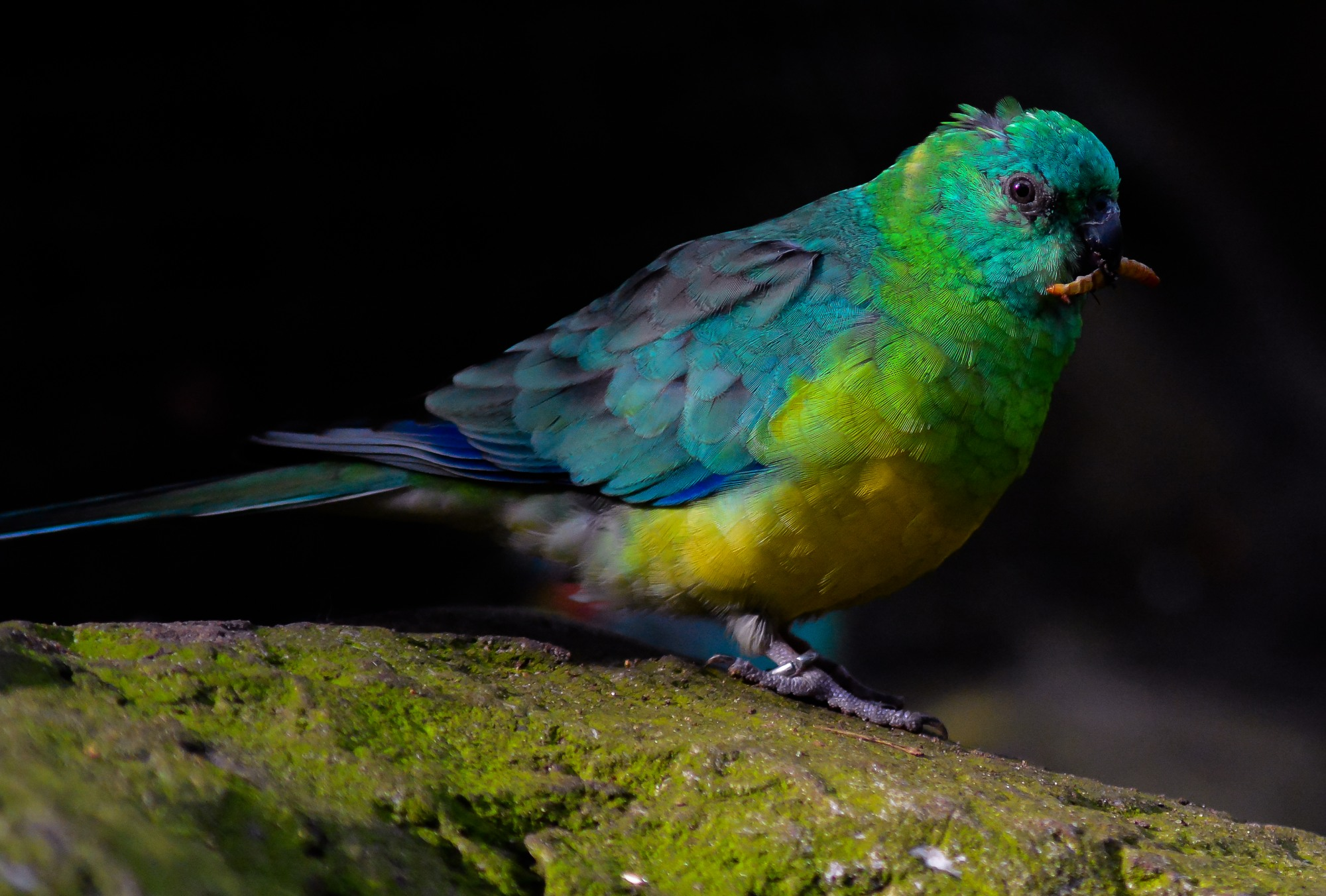 Red-rumped parrot...