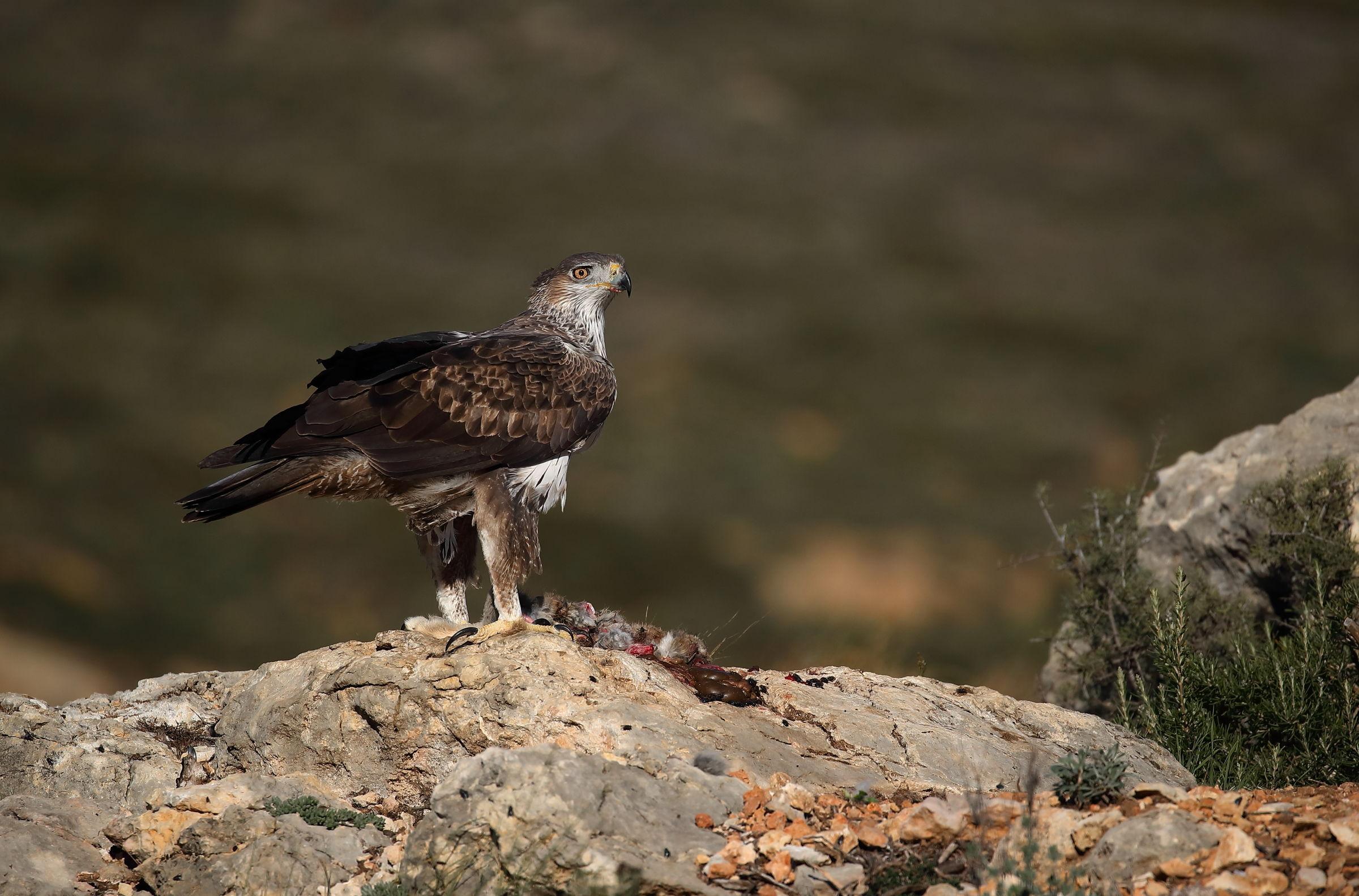 Bonelli's Eagle...