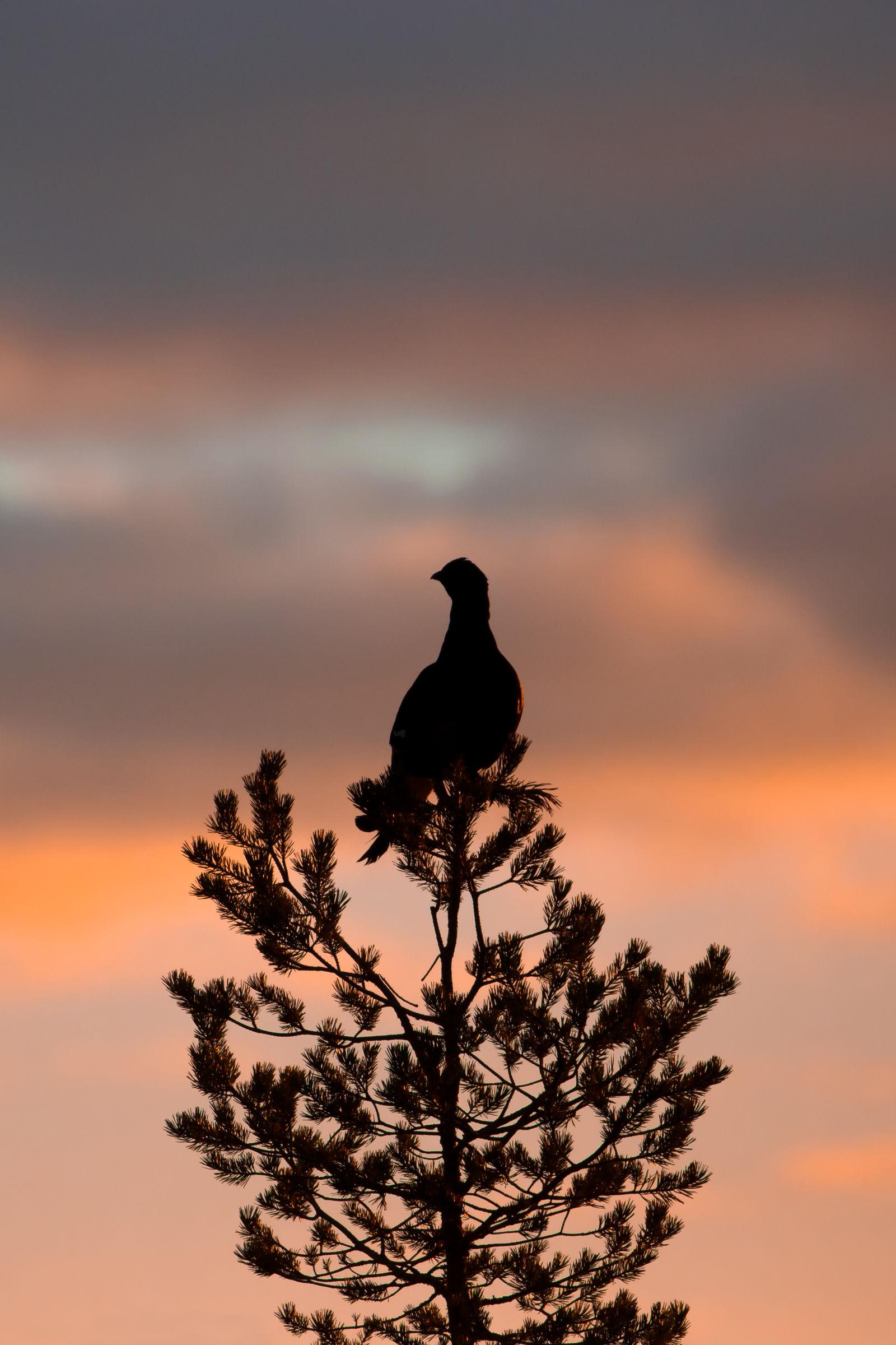 Black grouse...