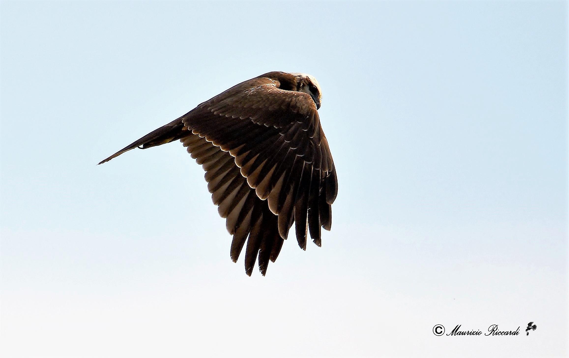 Marsh Hawk...