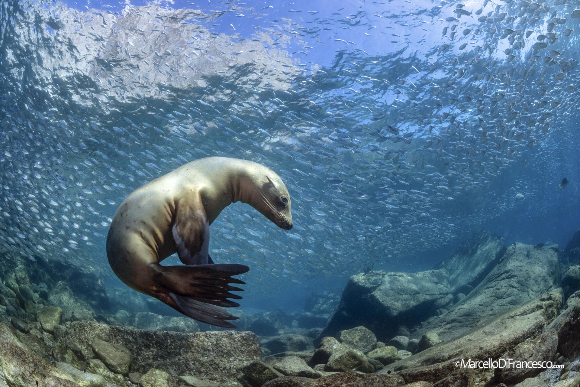 Sea Lion...