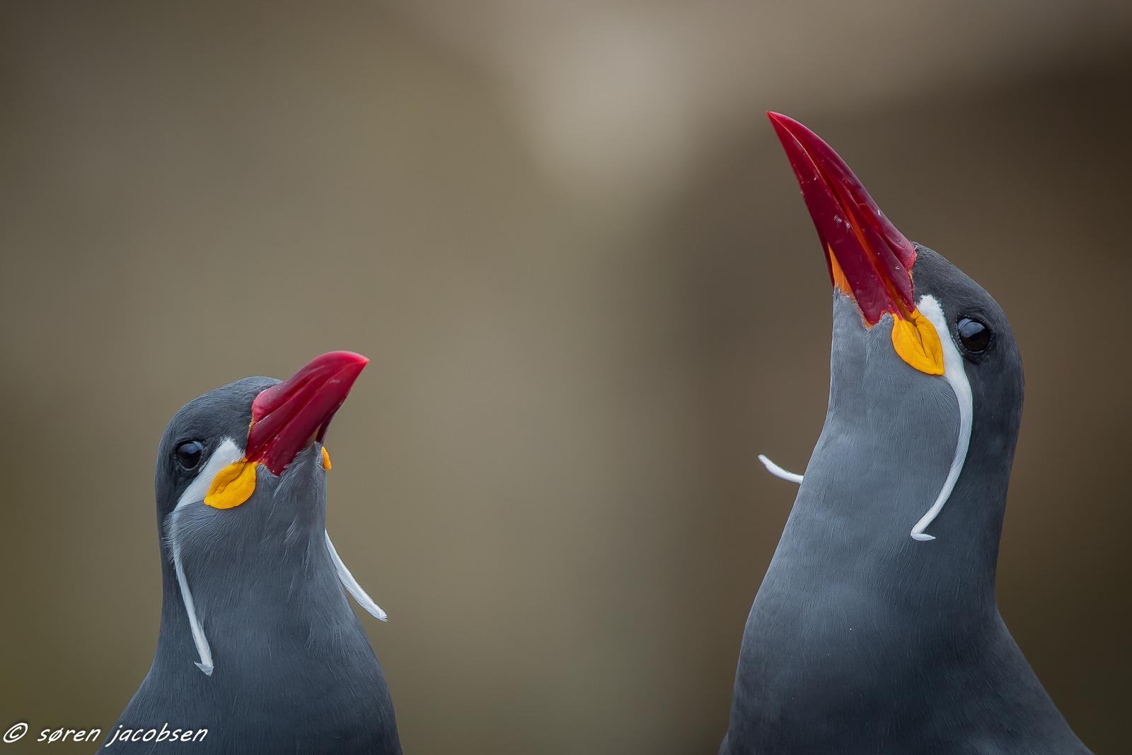 Inca Terns!...