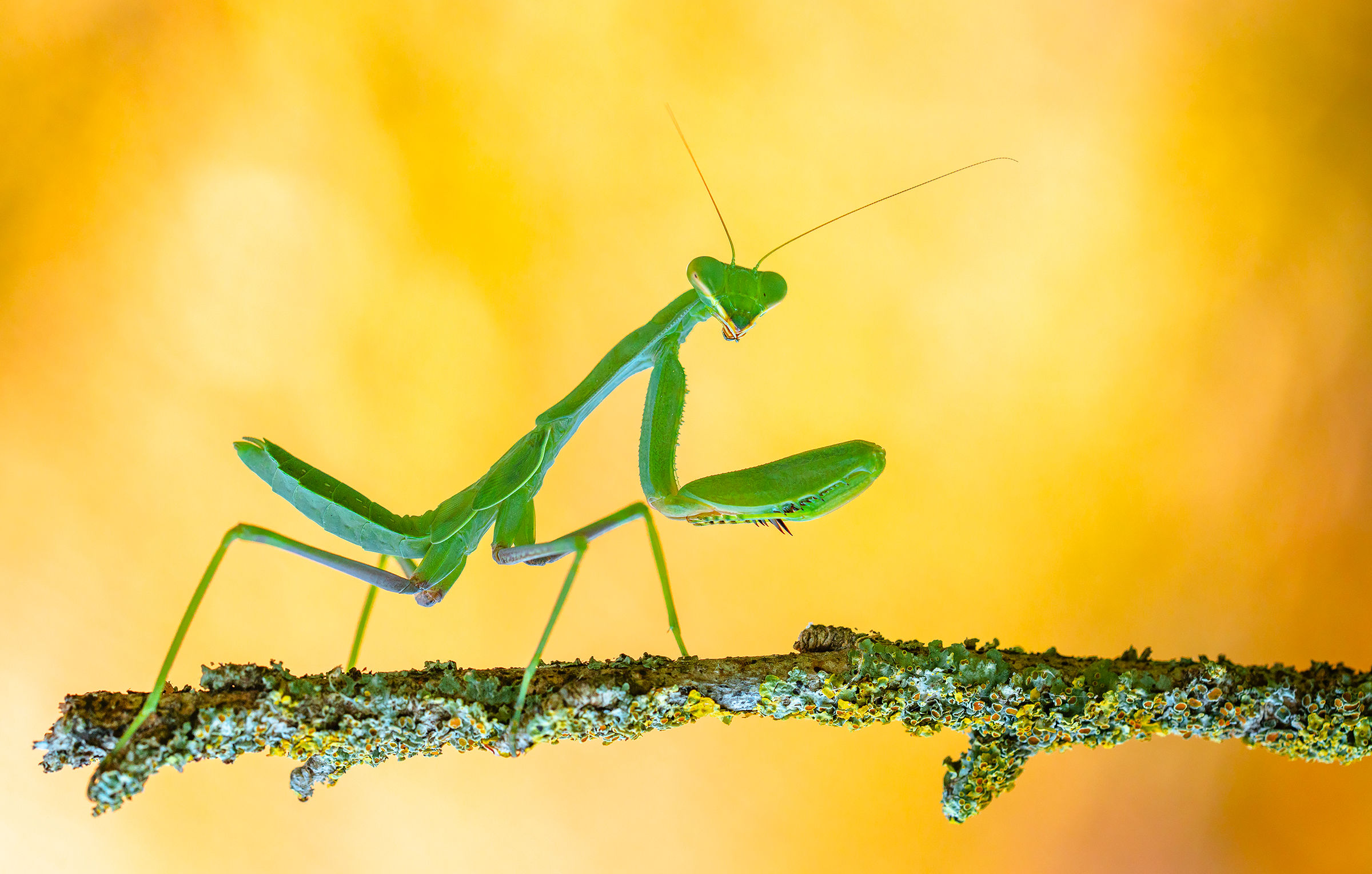 praying mantis...