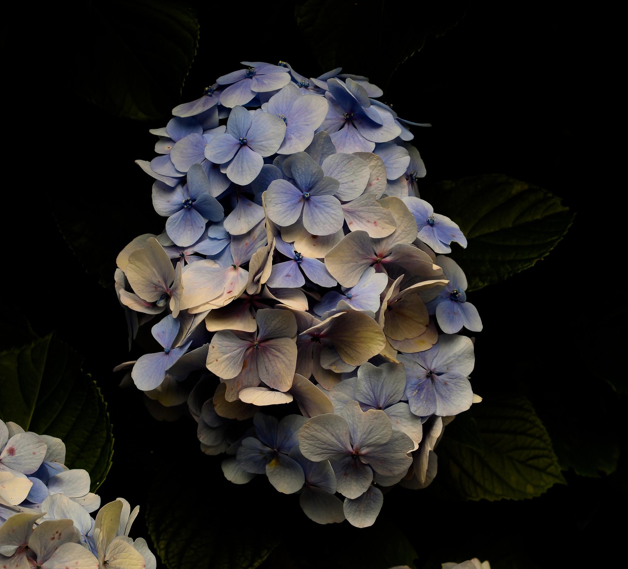 Hydrangea arborescens....
