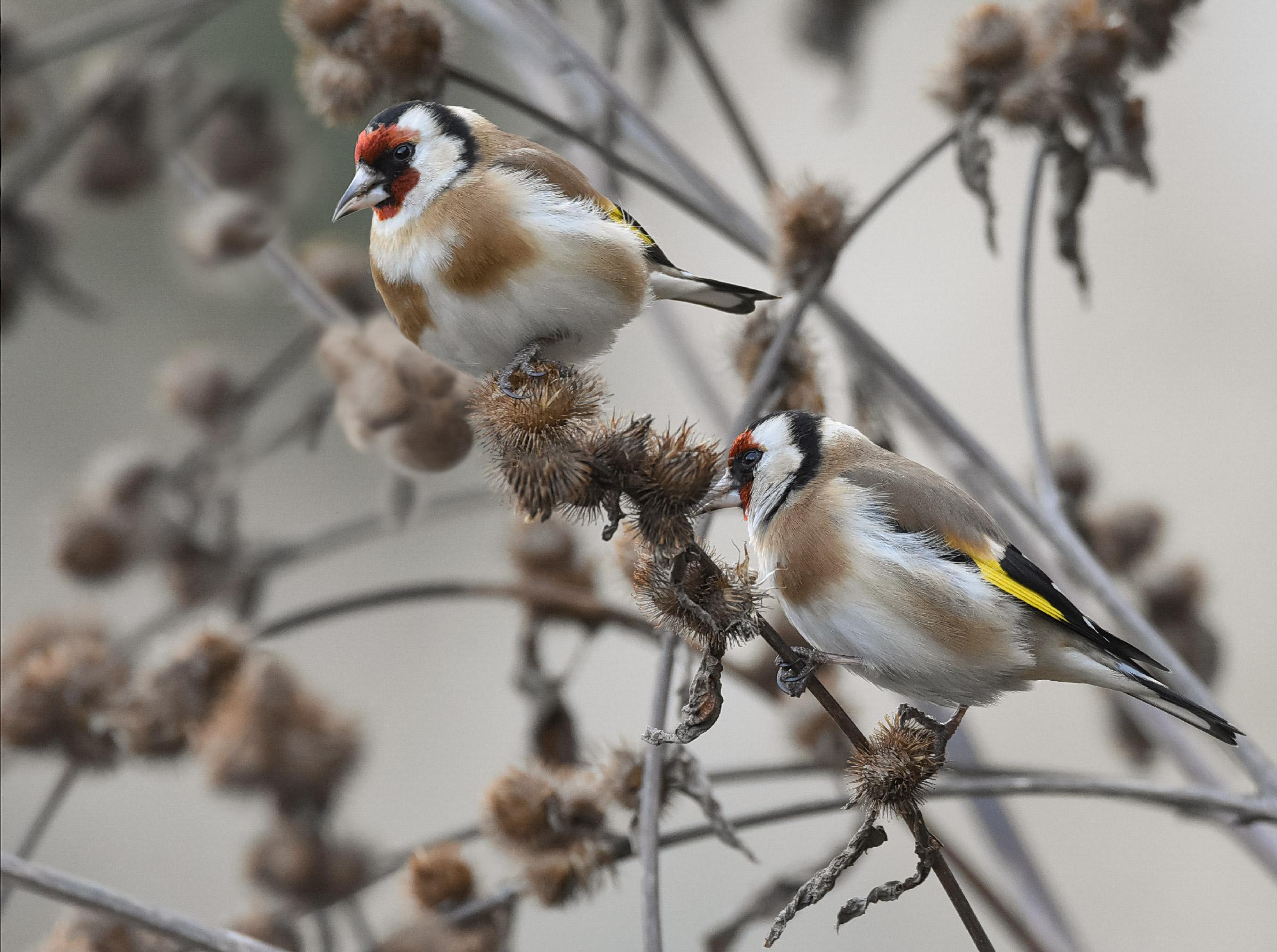 Goldfinch on a burdock stick...