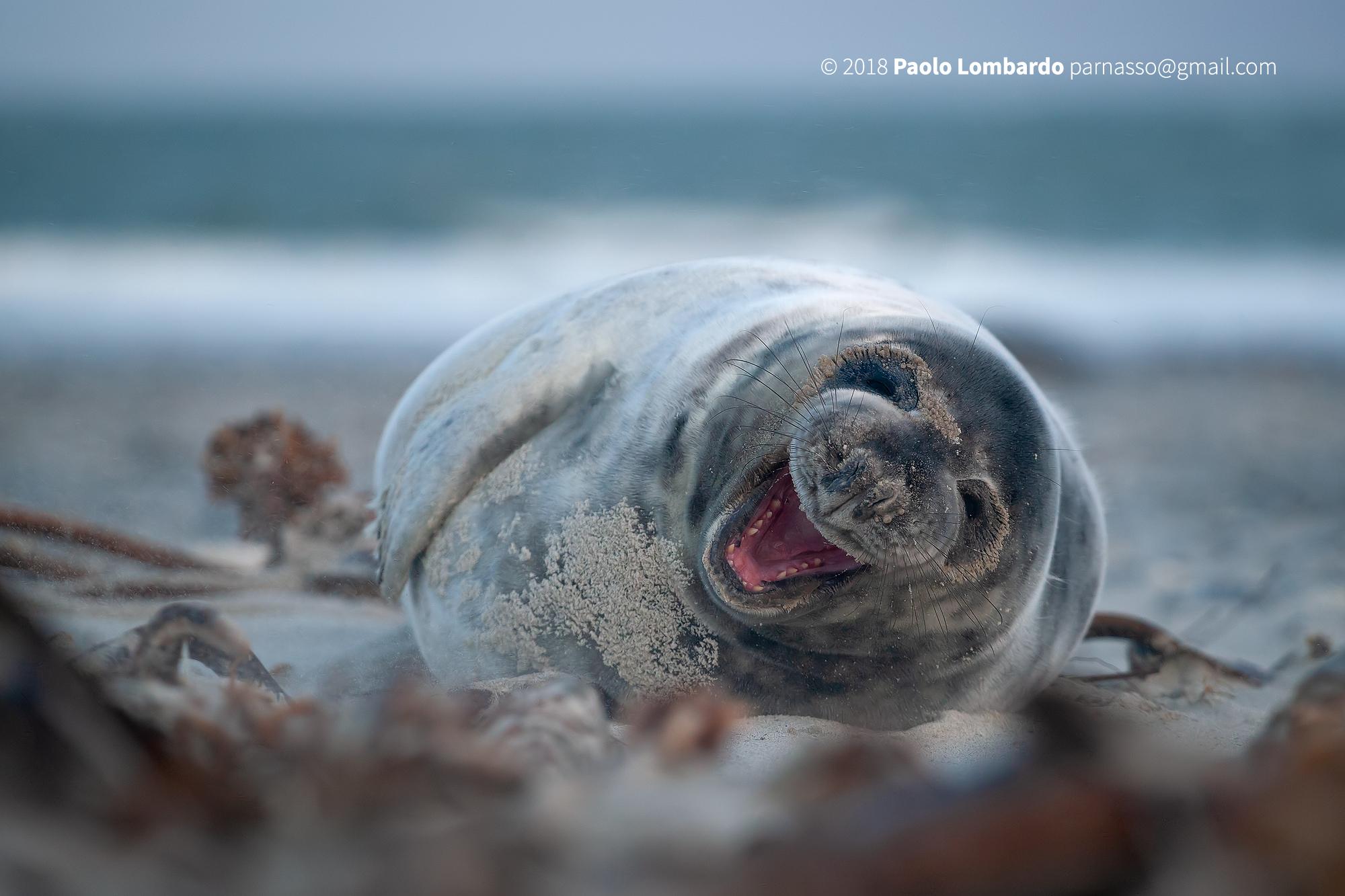 Halichoerus Grypus-Grey seal-grey seal...