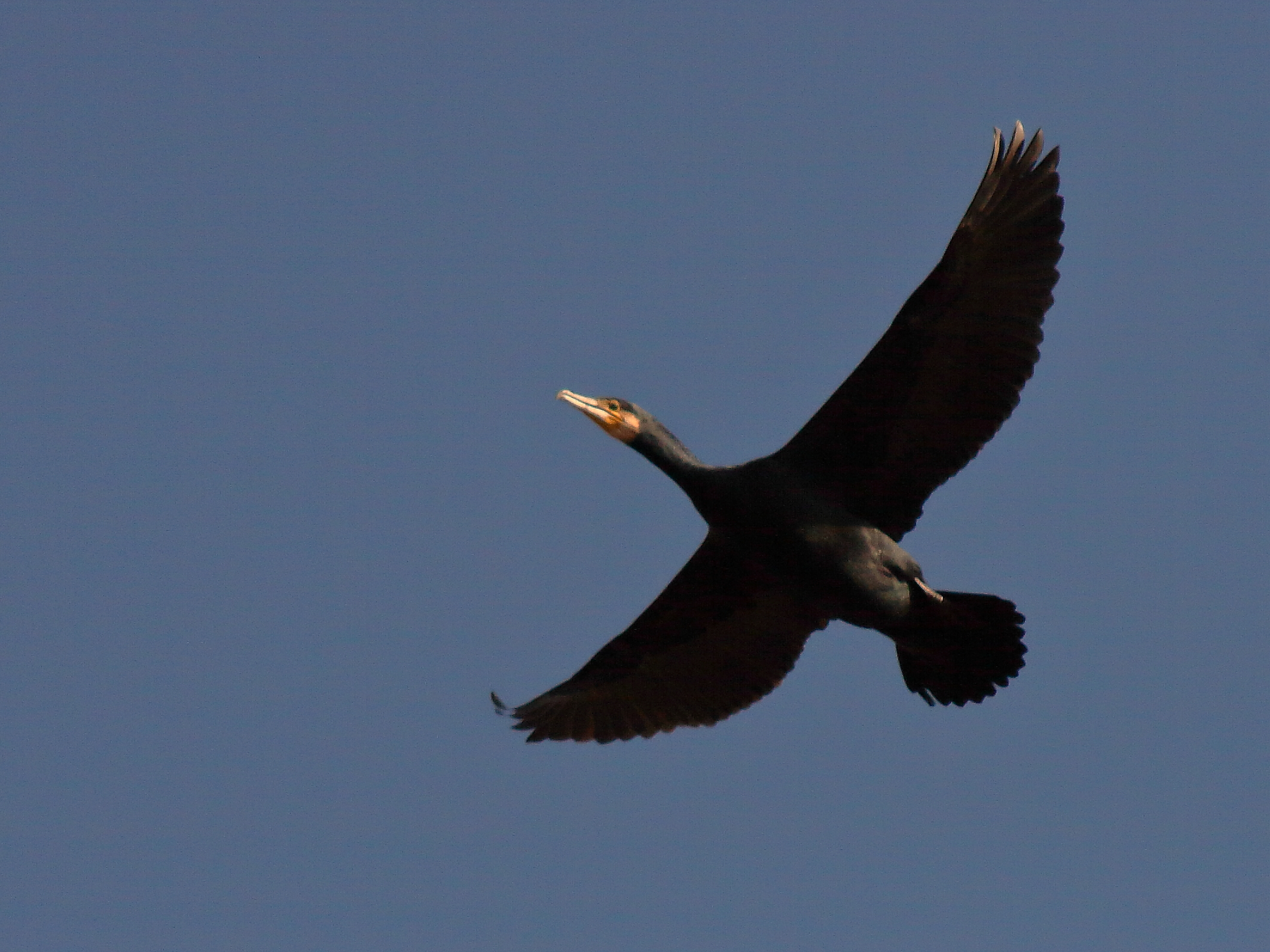 cormorano...