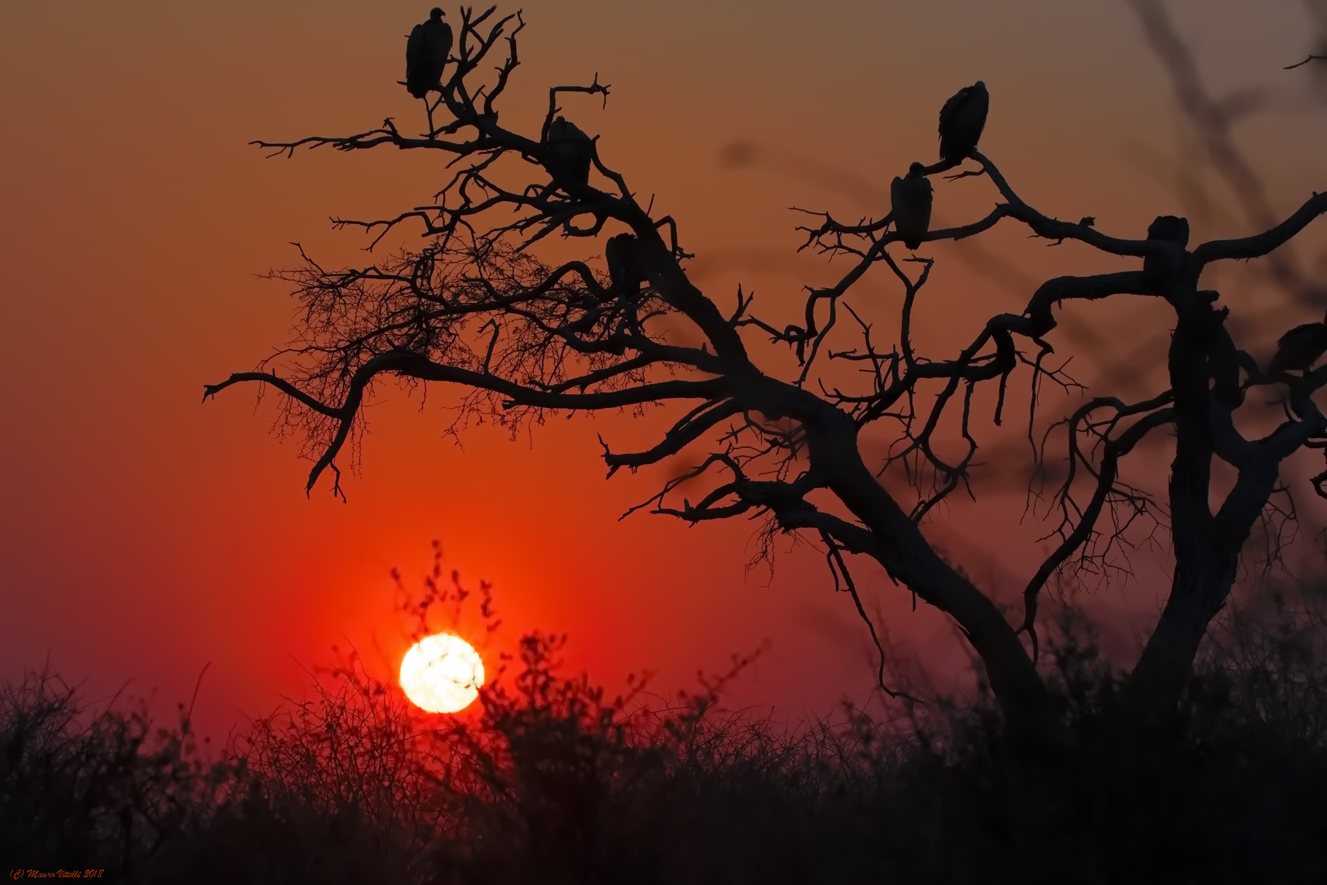 Vultures at Dawn (South Africa)...