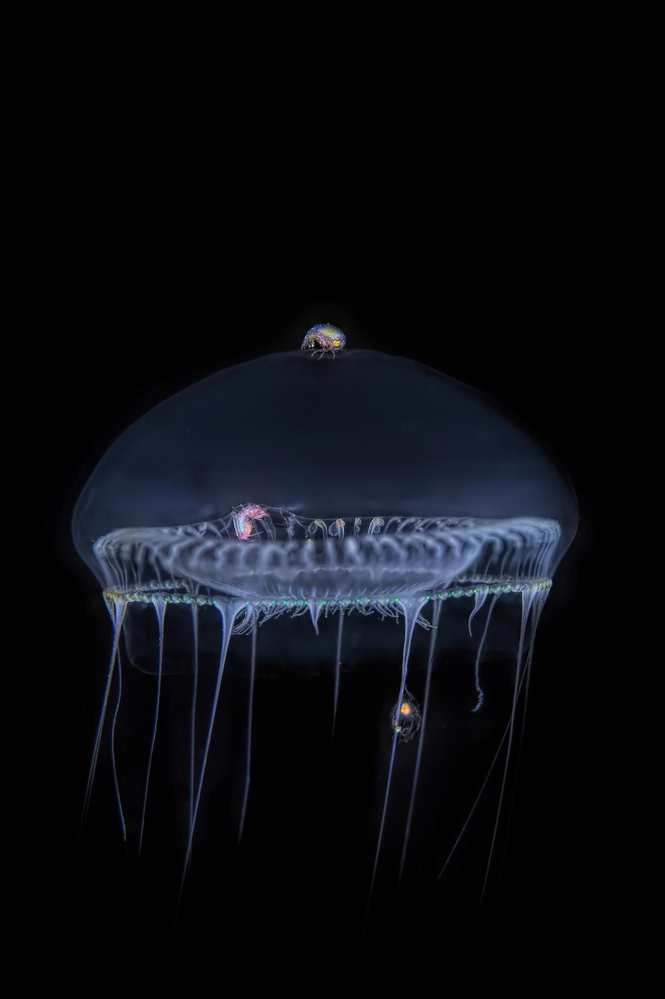 Jellyfish & Sea Fleas ...