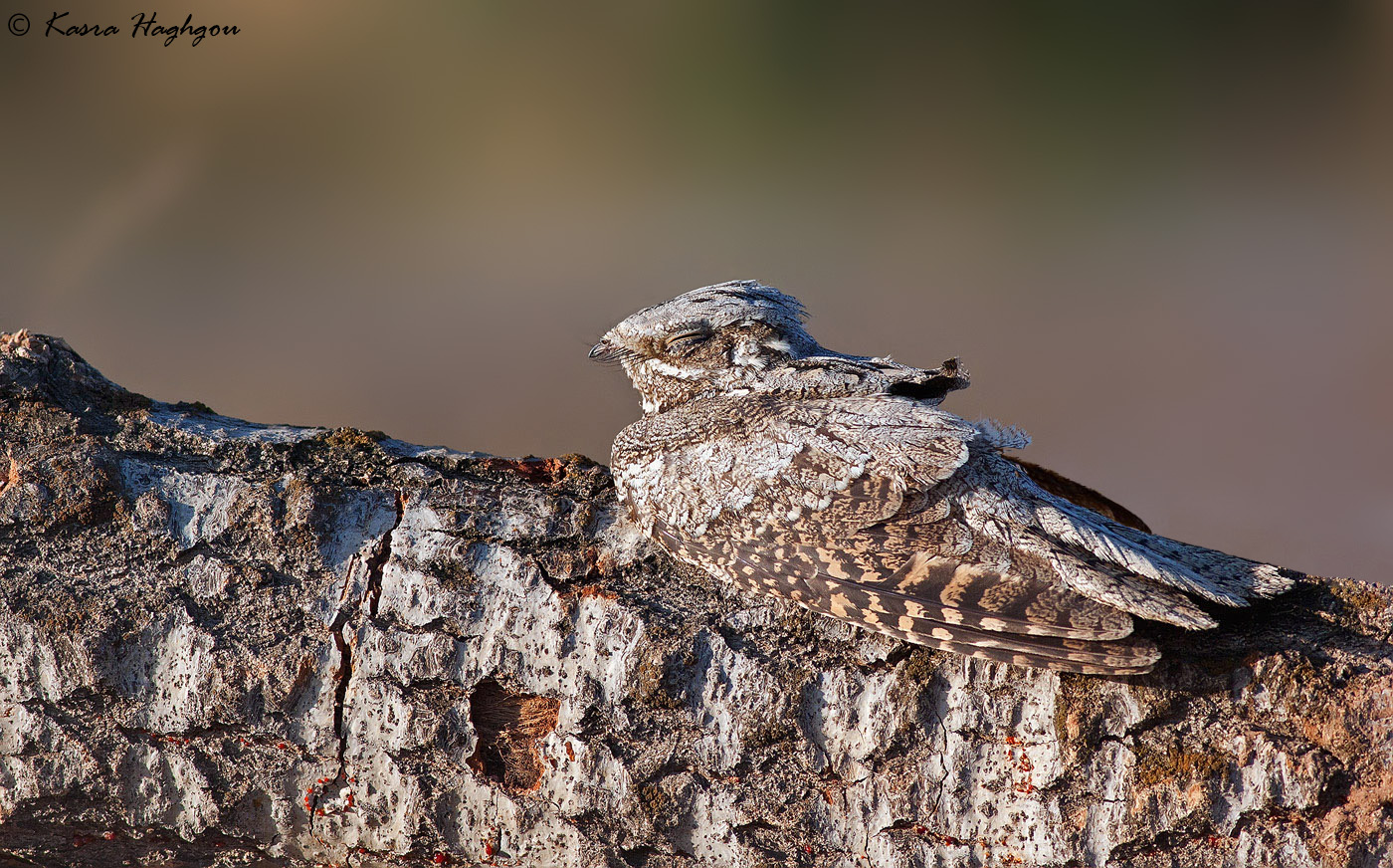 Egyptian nightjar...