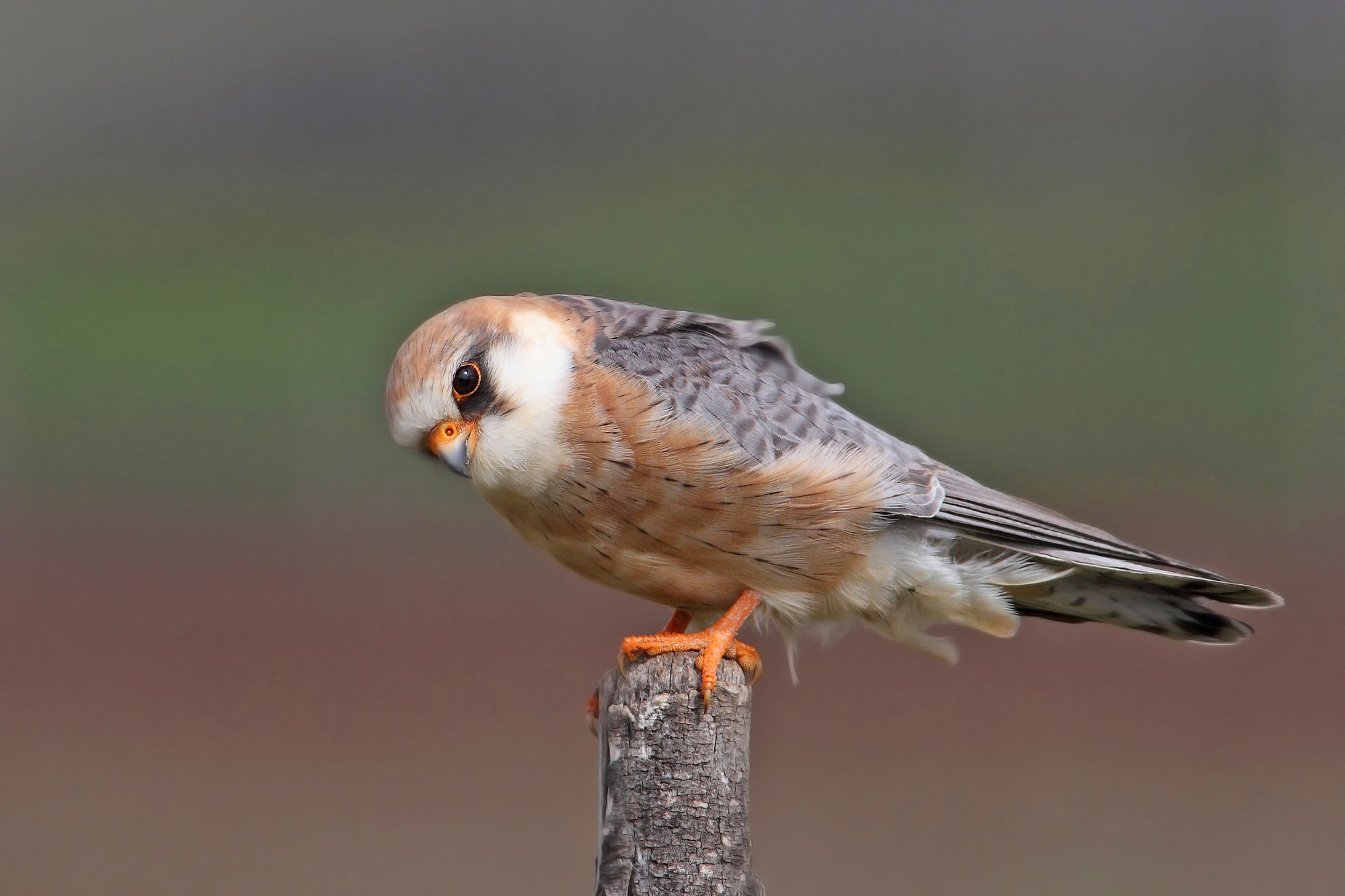Female Cuckoo Hawk...