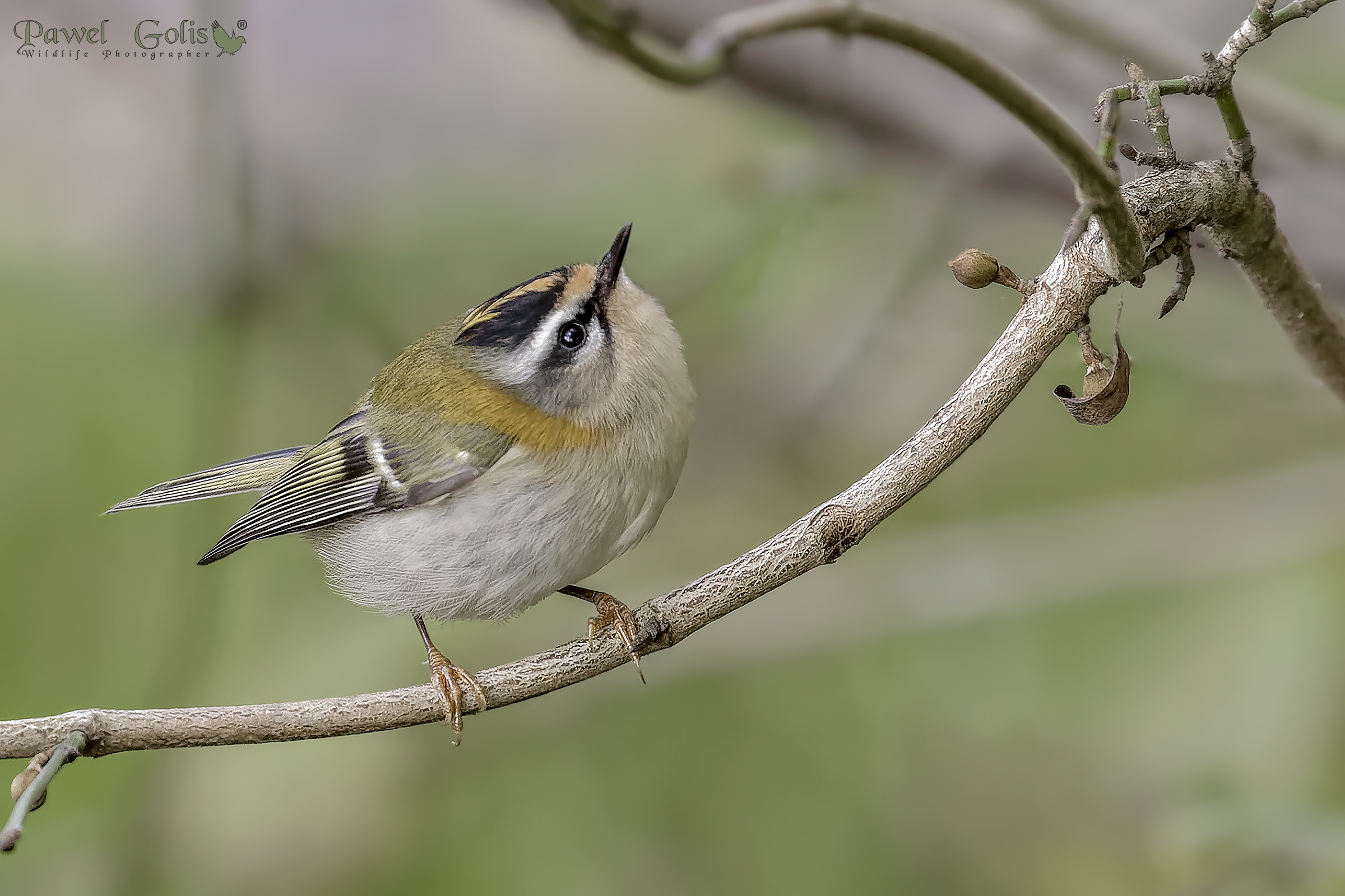 Common firecrest (Regulus ignicapilla)...