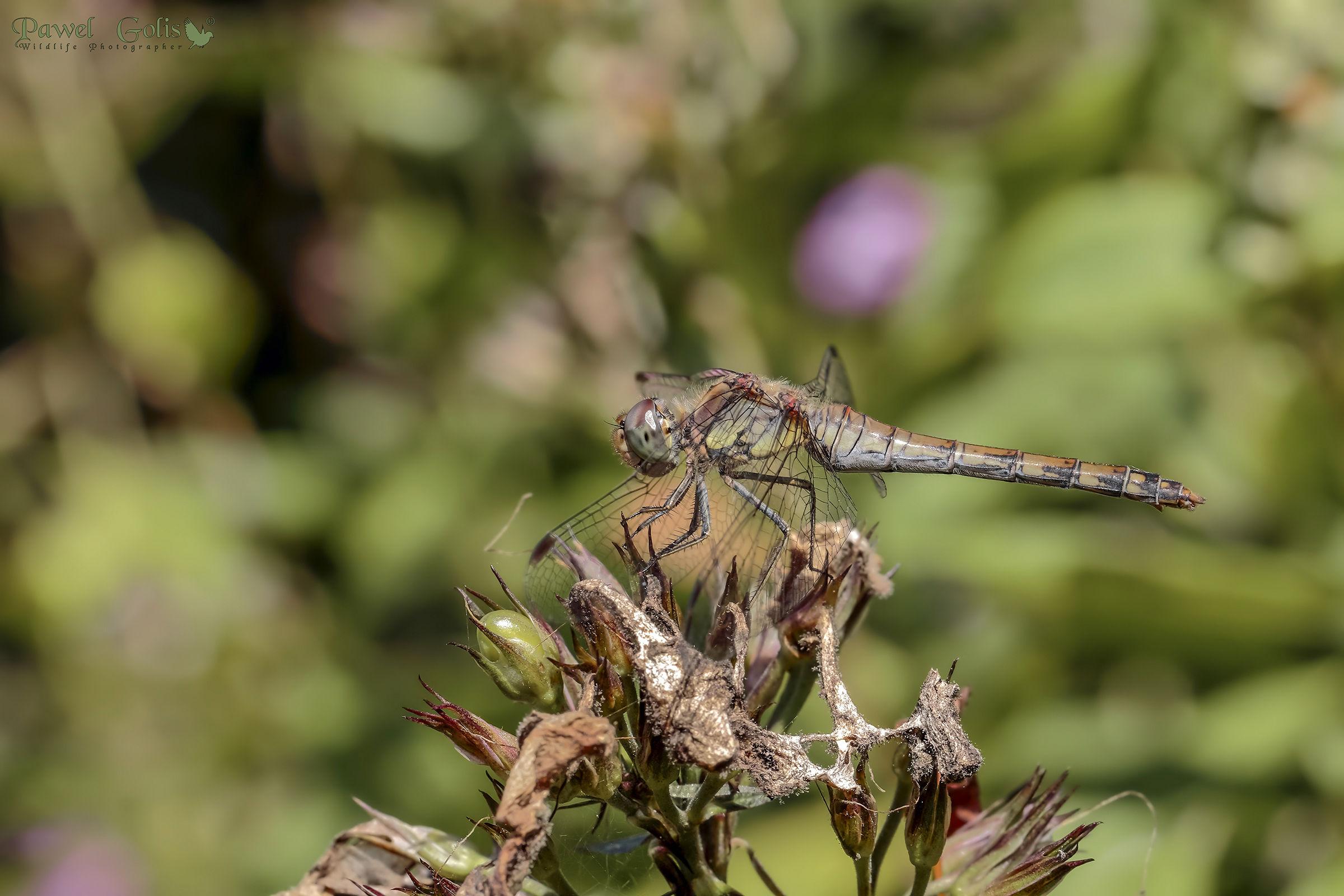 Common darter (Sympetrum striolatum)...
