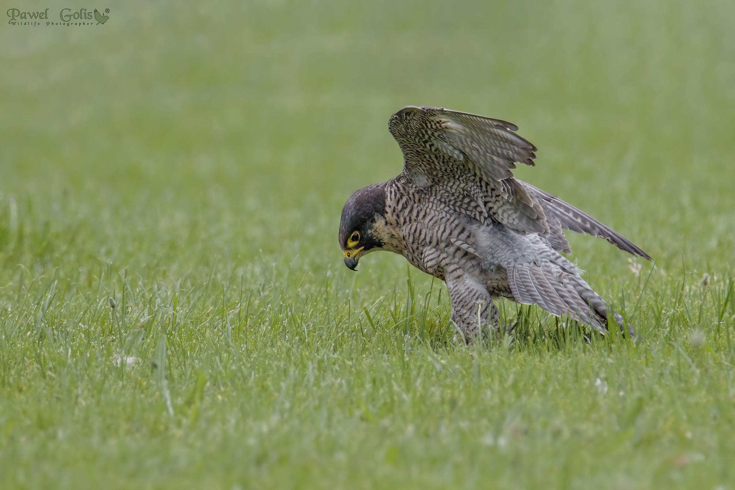 Falco Pellegrino (Falcon peregrinus)...