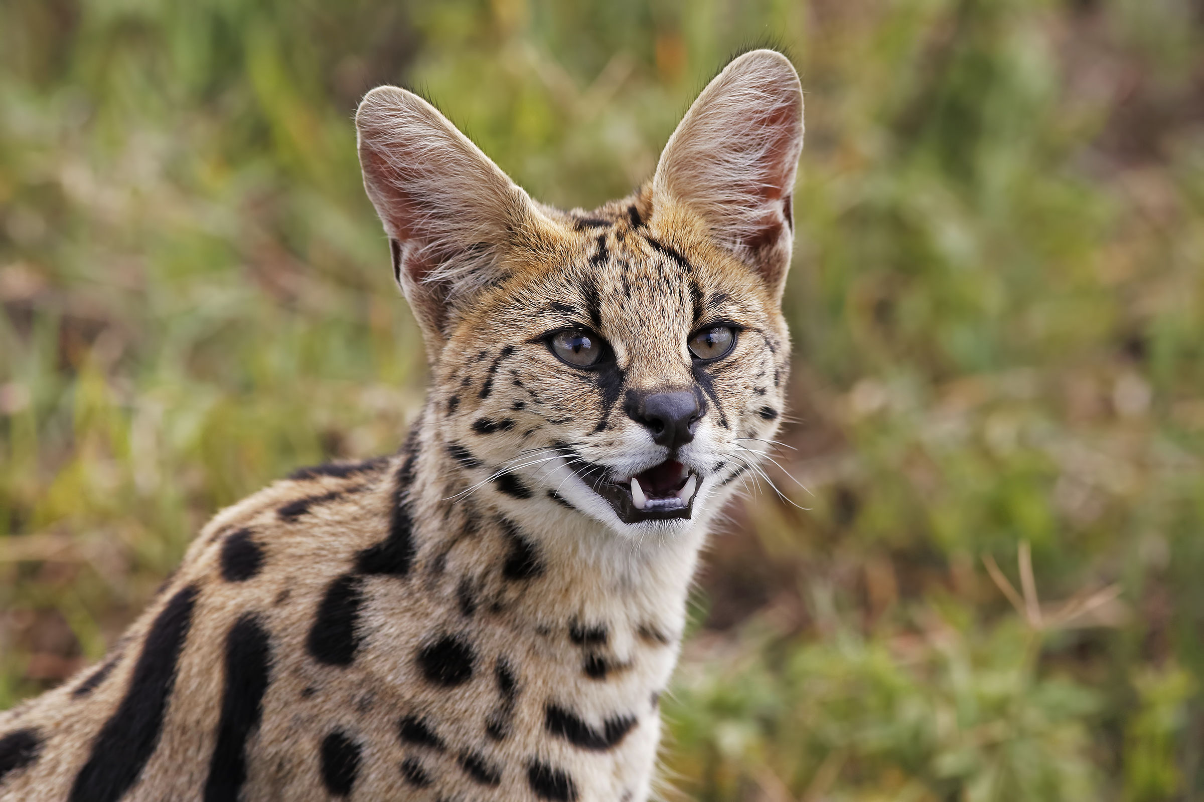 Serval...