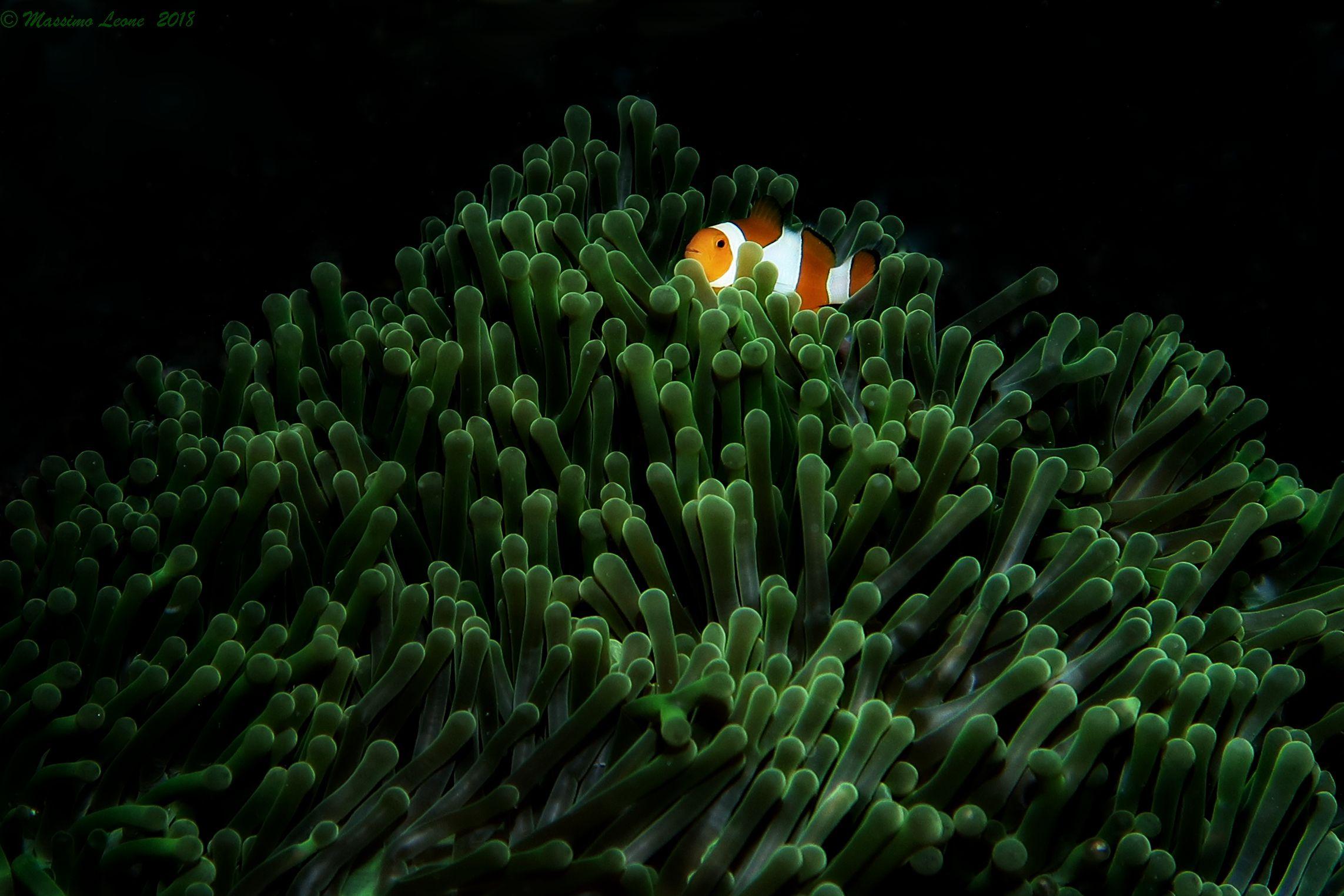Anemonfish...
