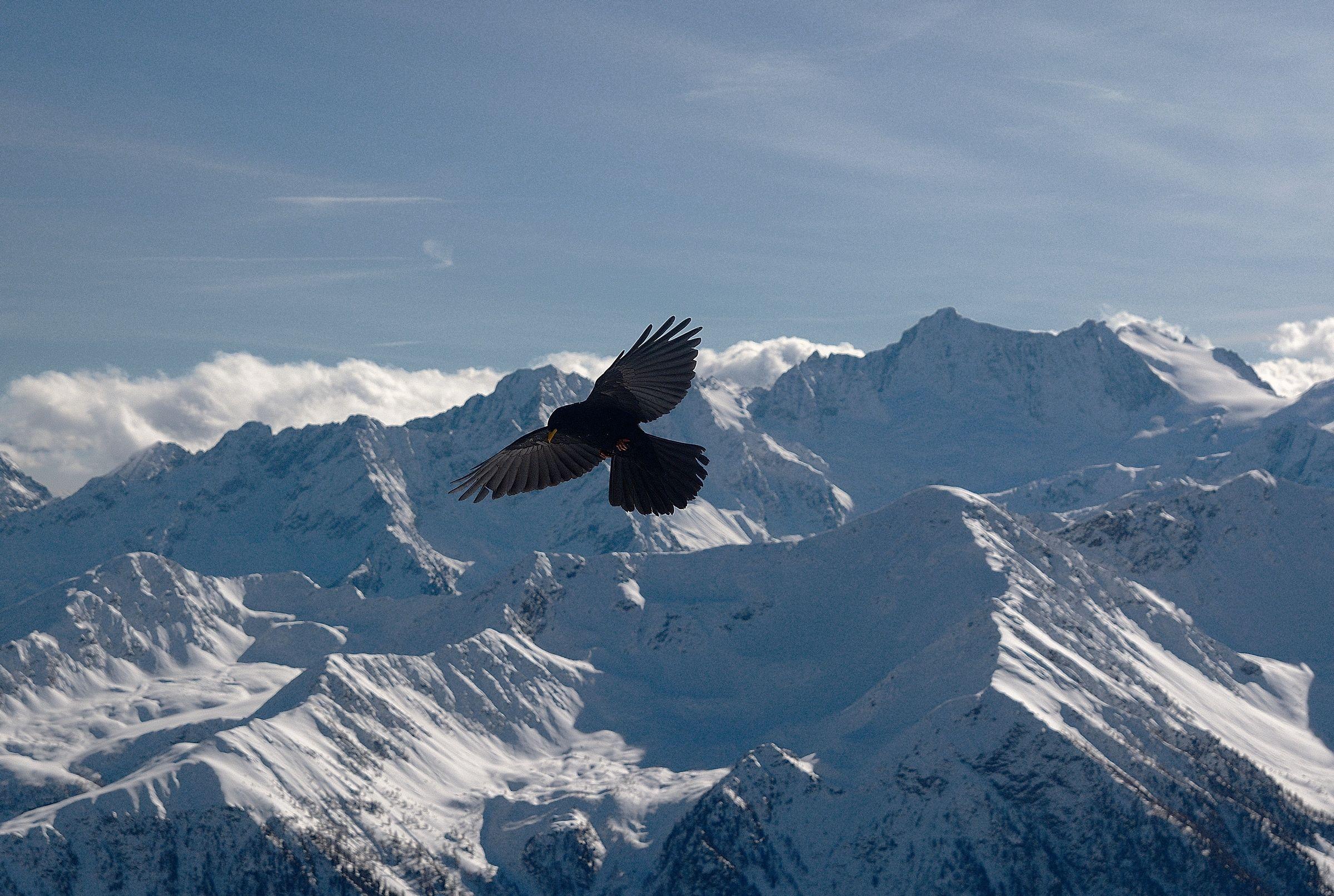 Alpine Gracchio ...